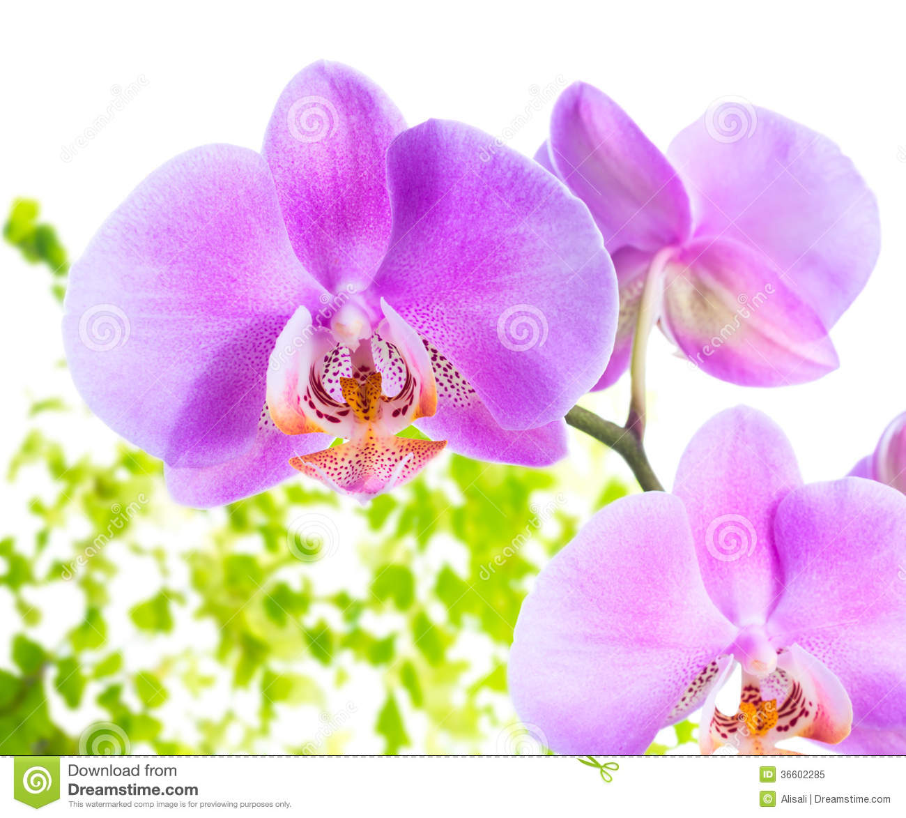lilac orchid with leaves fern, isolated on white bac