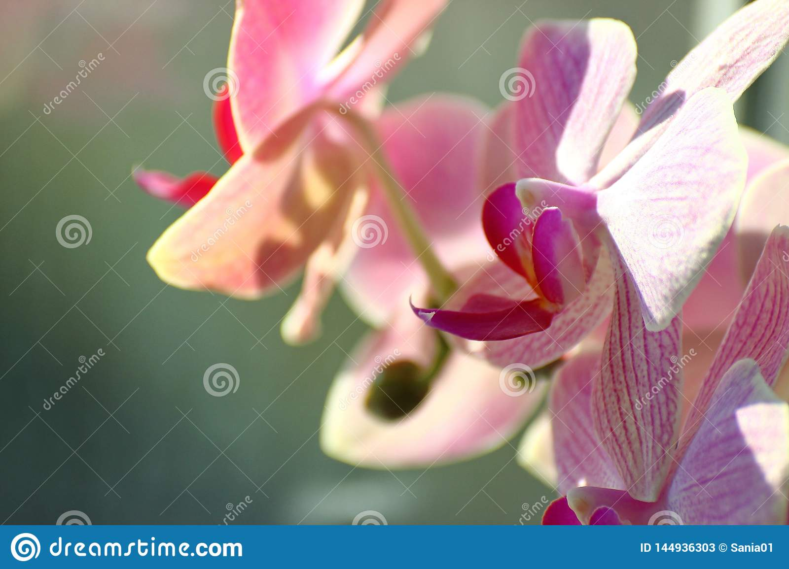 Lilac Orchid on Sunny day on a green background. home plants in a vase on the window. care about the room colors of the house.