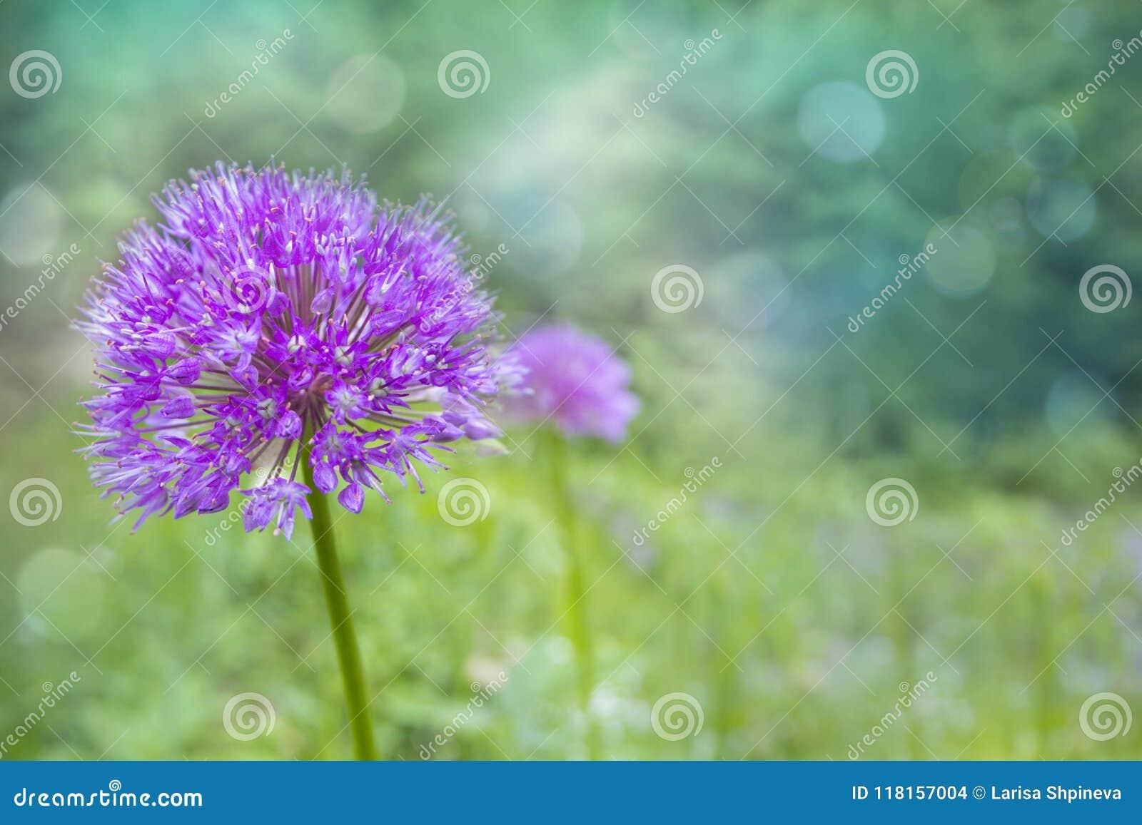 Lilac/roze Bloem van de Alliumui op vage natuurlijke achtergrond i