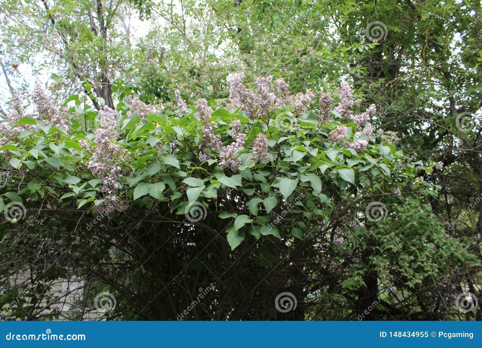 Lilac struik