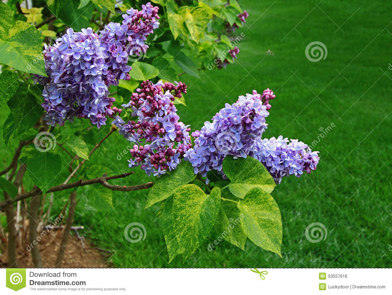 Lilac tree blossom stock photo image 53557616 for Variegated grass with purple flower