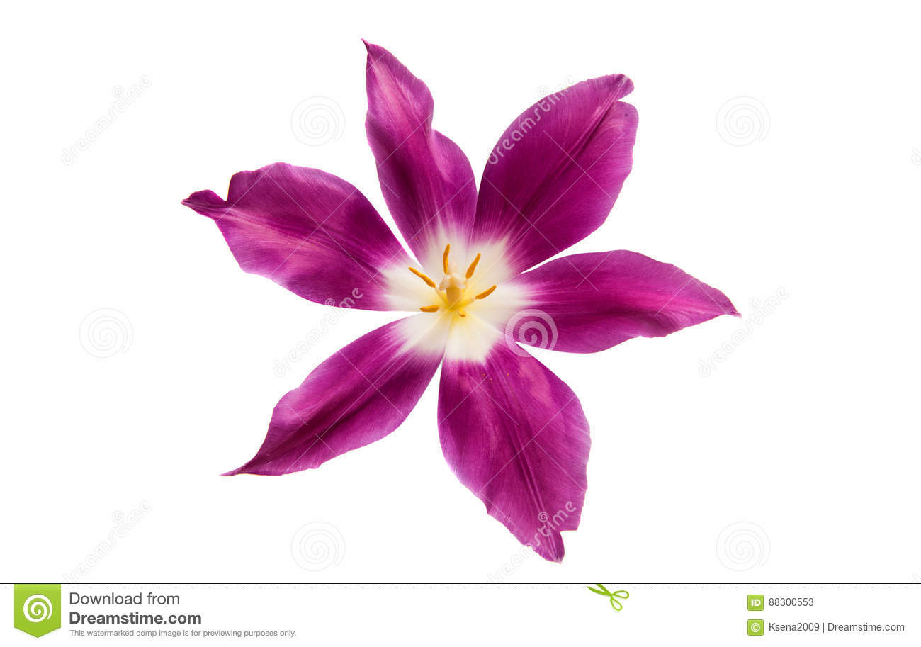 Lilac tulip isolated
