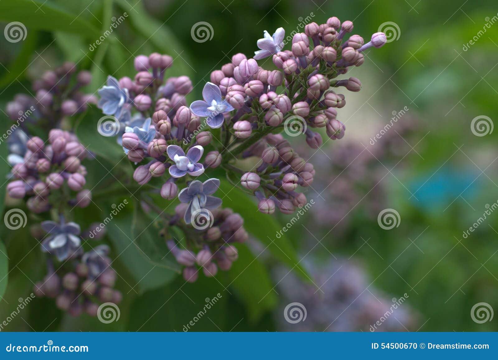 Lilas de floraison