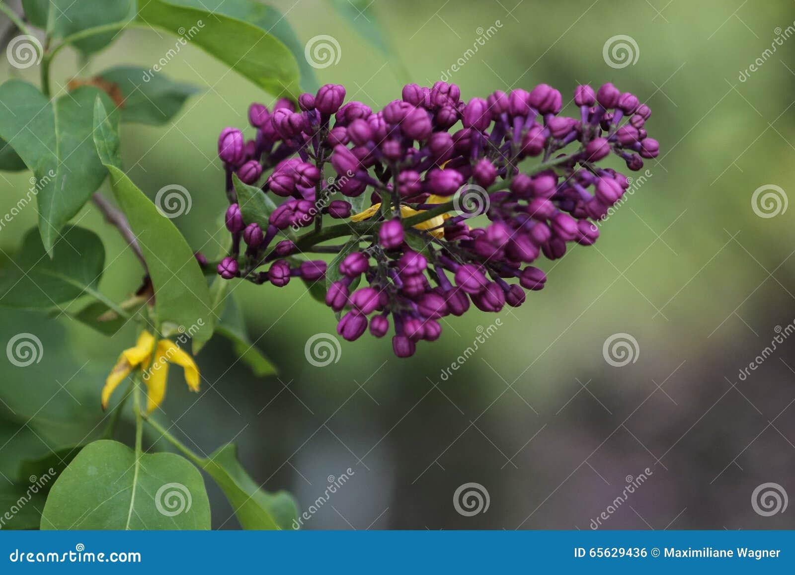 Lilas de floraison (Syringa) dans le jardin