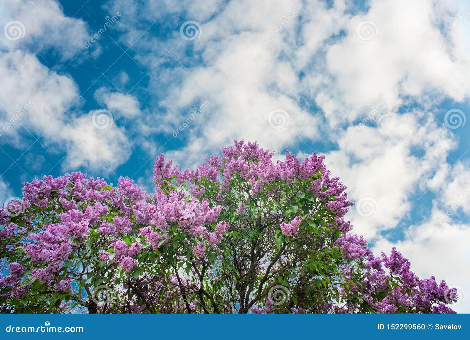 Lilas pourpre sous le ciel bleu avec des nuages