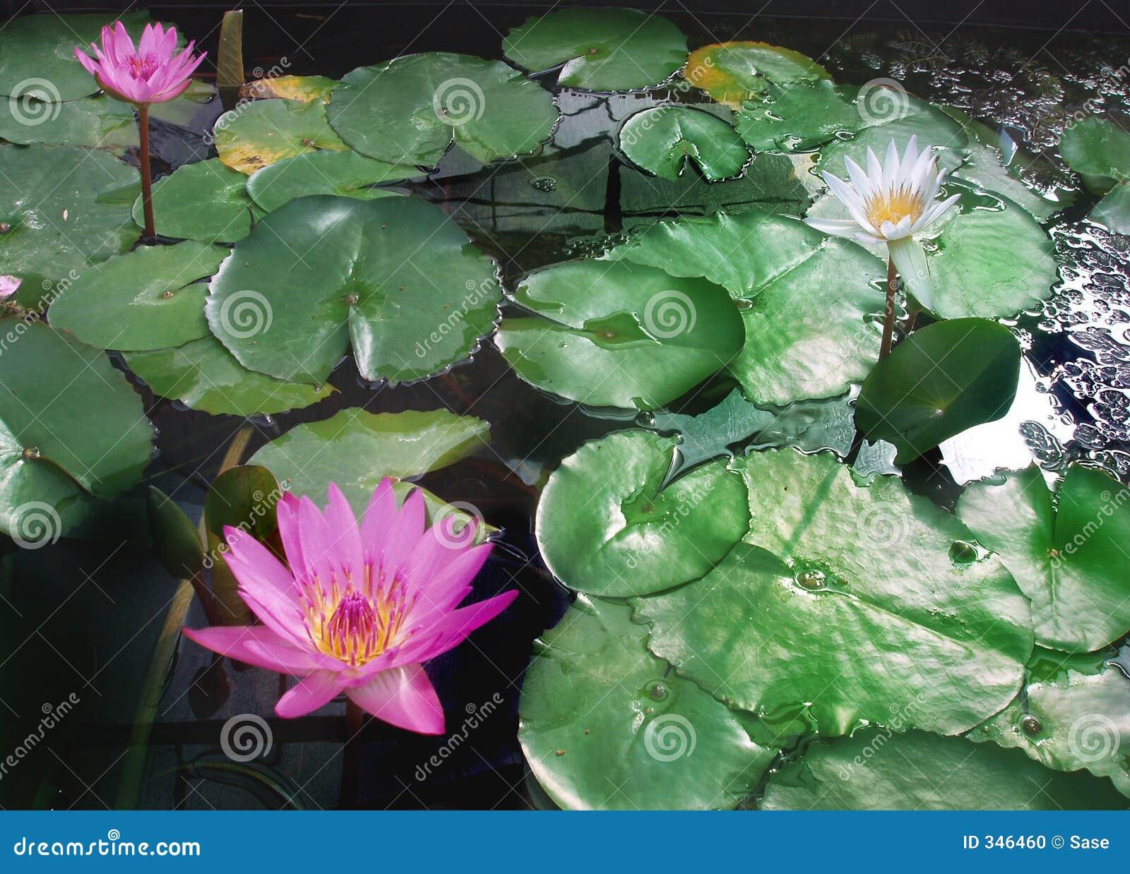 Liles rosados del agua