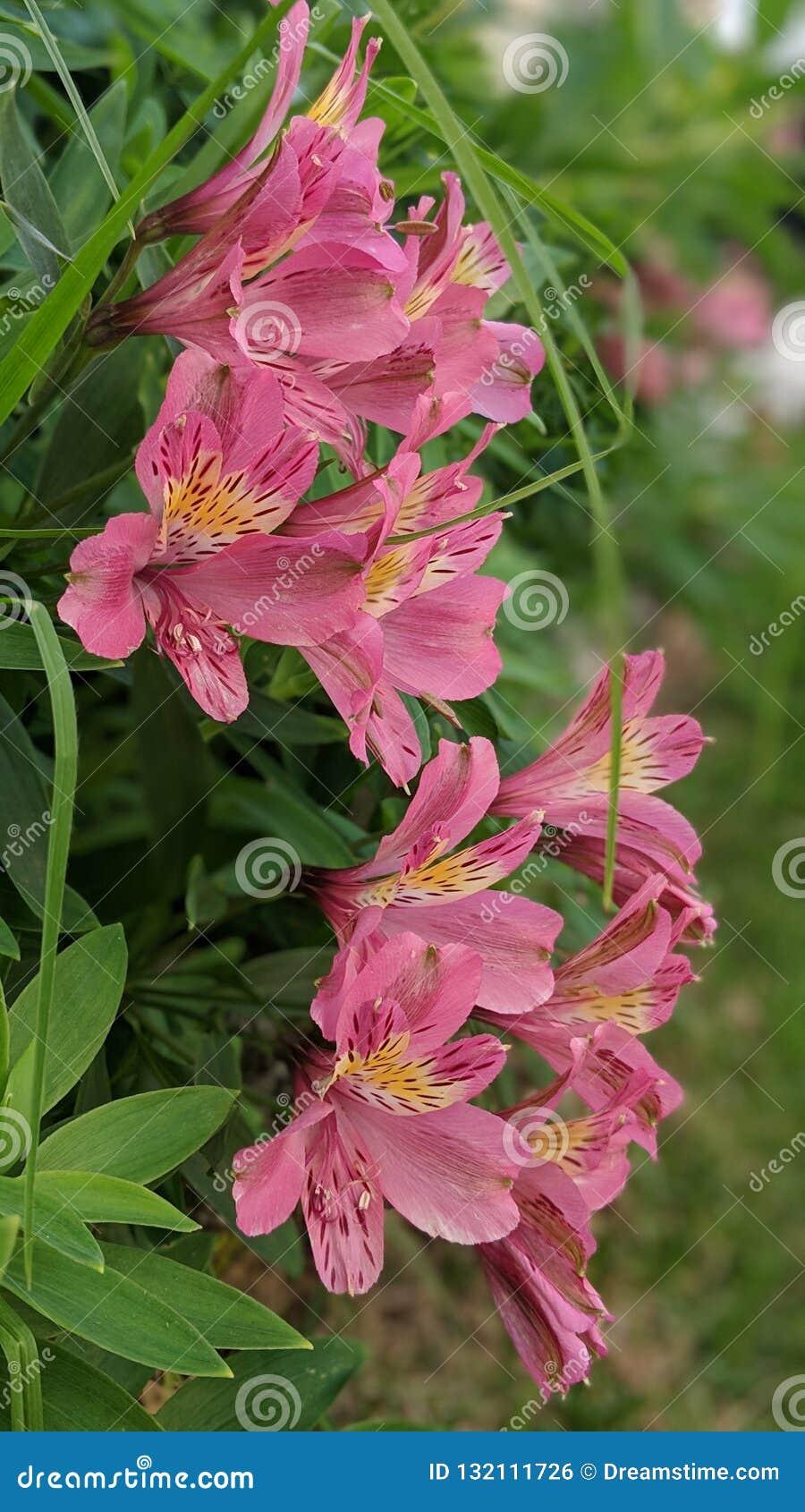 Lilie der Inkas