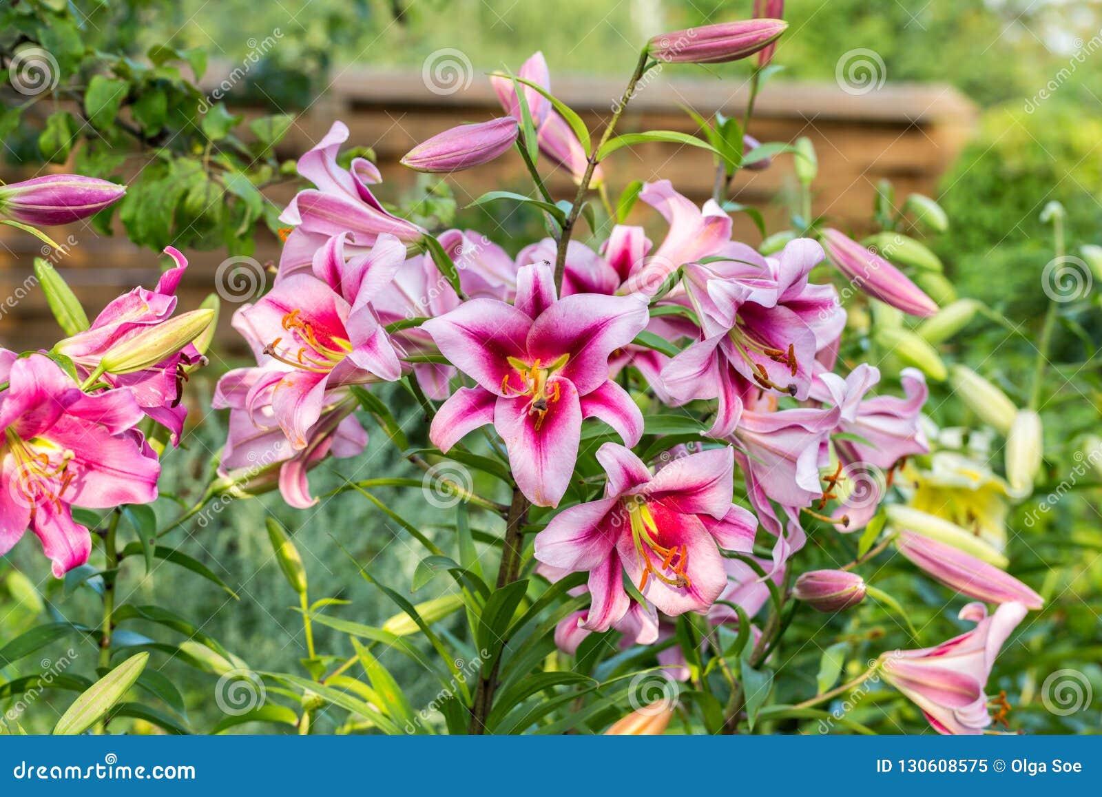 Lilie Im Garten Stockbild Bild Von Hell Knospe Floral 130608575