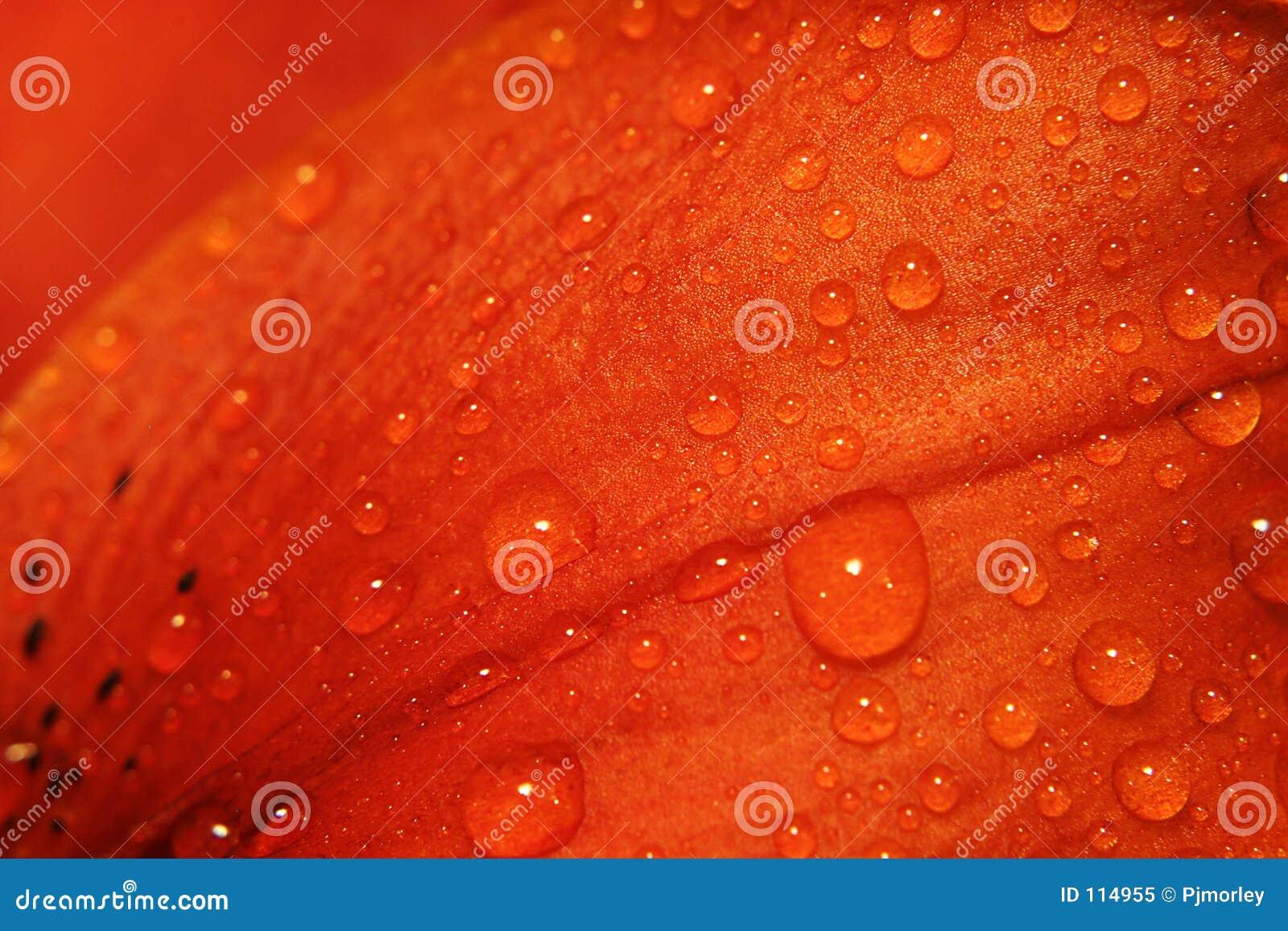 Lilien-Blumenblatt
