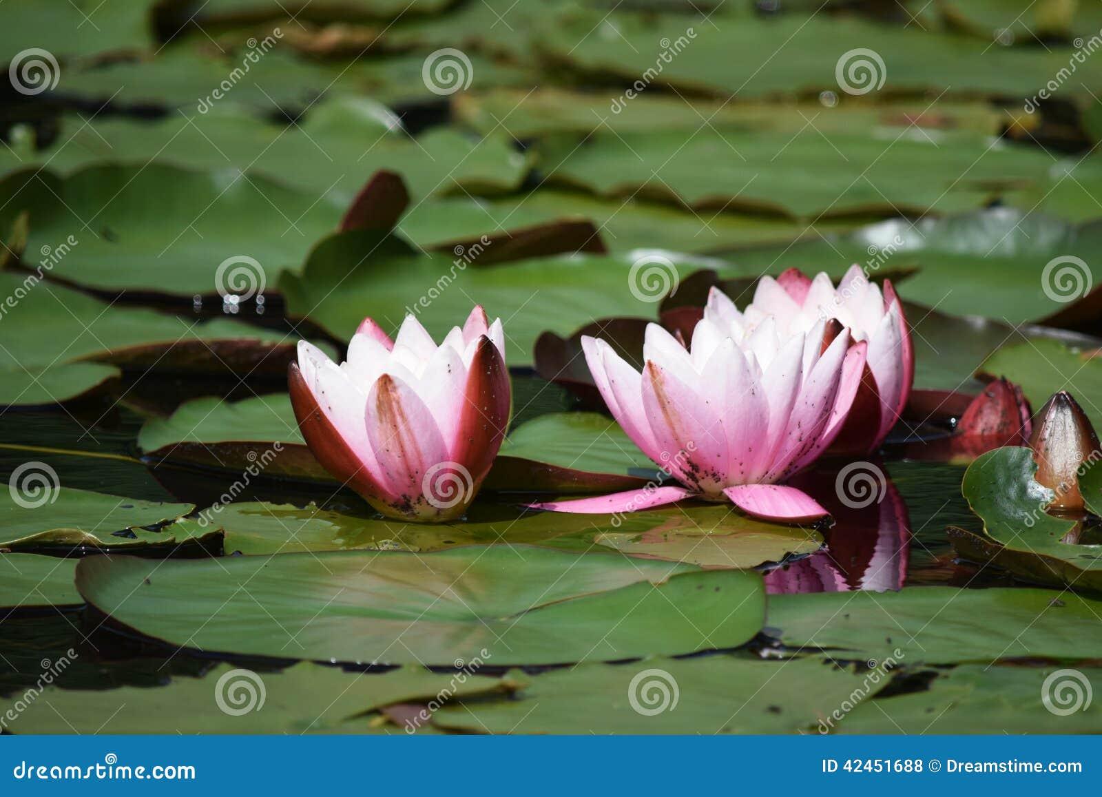 Lilien des offenen Wassers