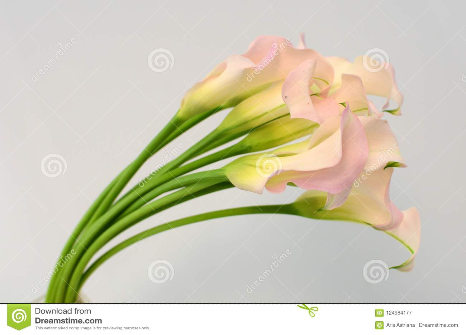Lilienblume des rosa Calla auf einem Weiß lokalisierte Hintergrund