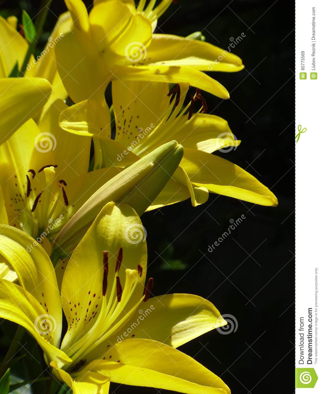 Lilies queen of the flower garden stock image image of feeding lilies the queen of the flower bed will not leave anyone indifferent fragile flowers fascinate with its beauty and fragrant scent izmirmasajfo