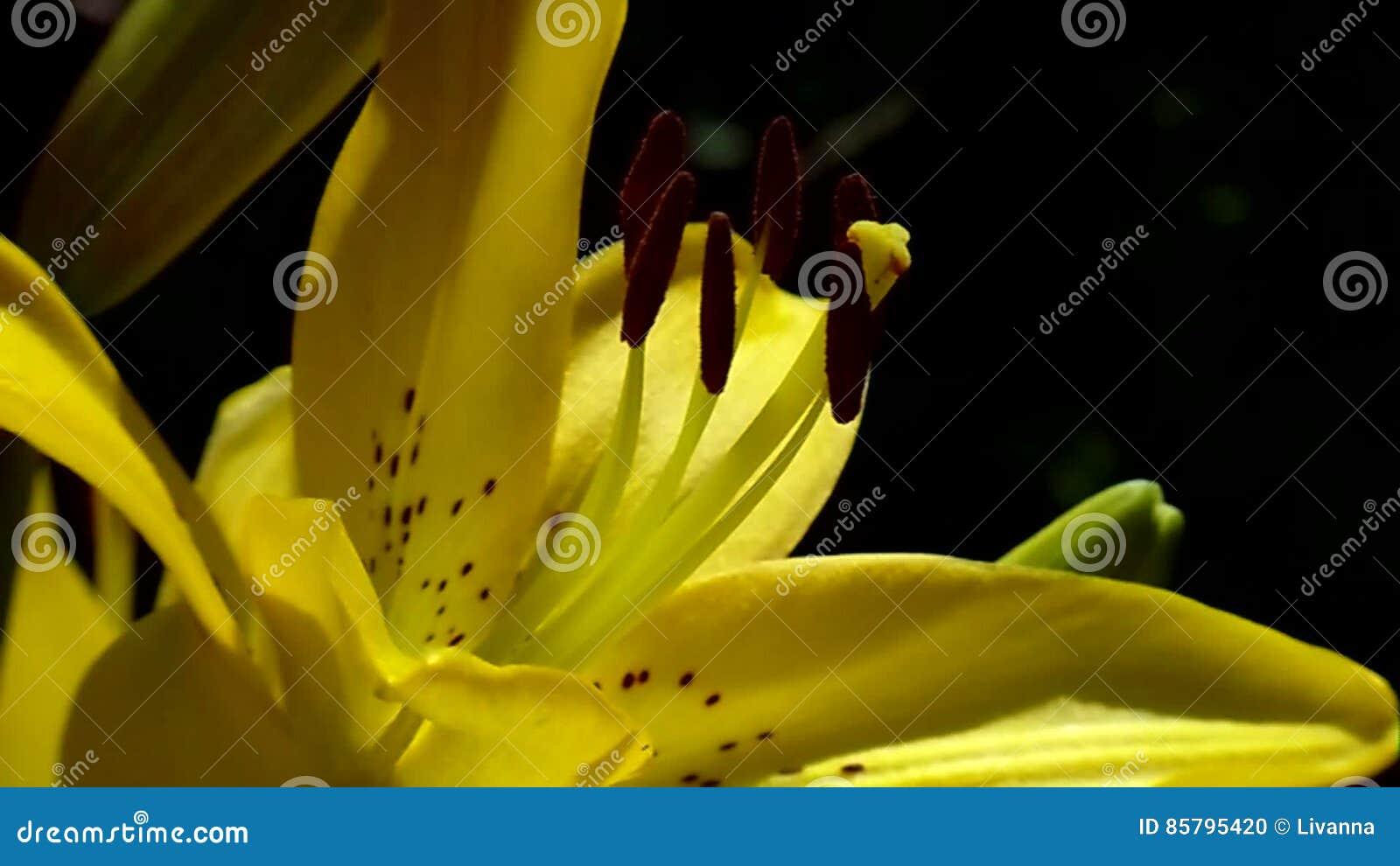Lilies Queen Of The Flower Garden Stock Footage Video Of Snown