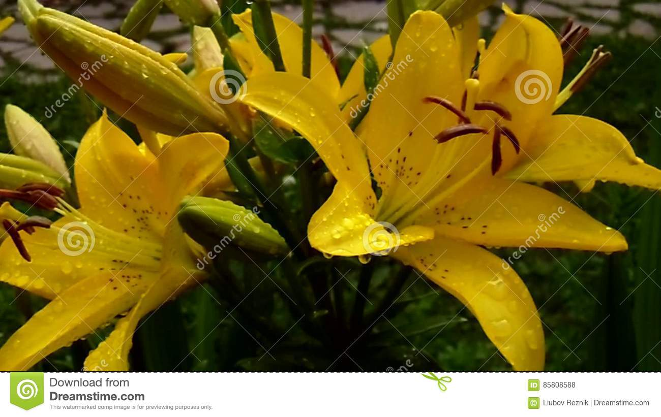 Lilies Queen Of The Flower Garden Stock Footage Video Of Fragile