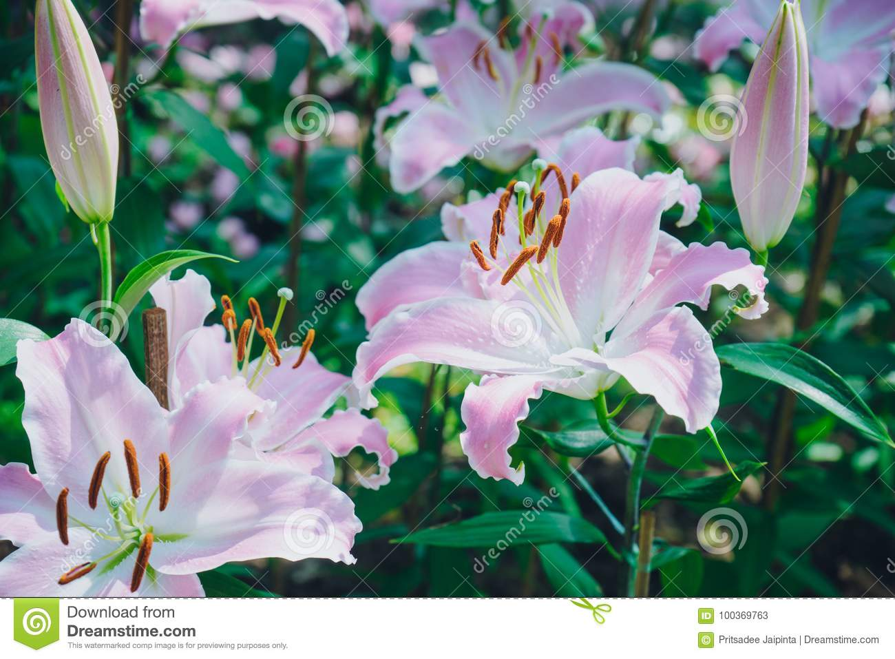 Lilies Flowers Bouquet In The Garden Stock Image Image Of Lily