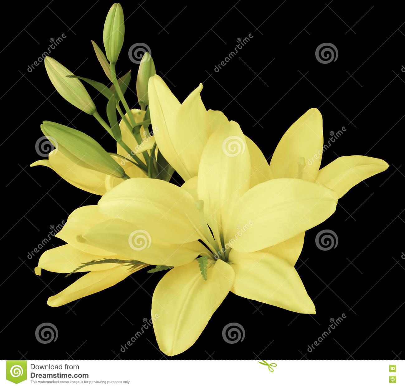 Lilies Light Yellow Flowers On A Black Background Isolated With