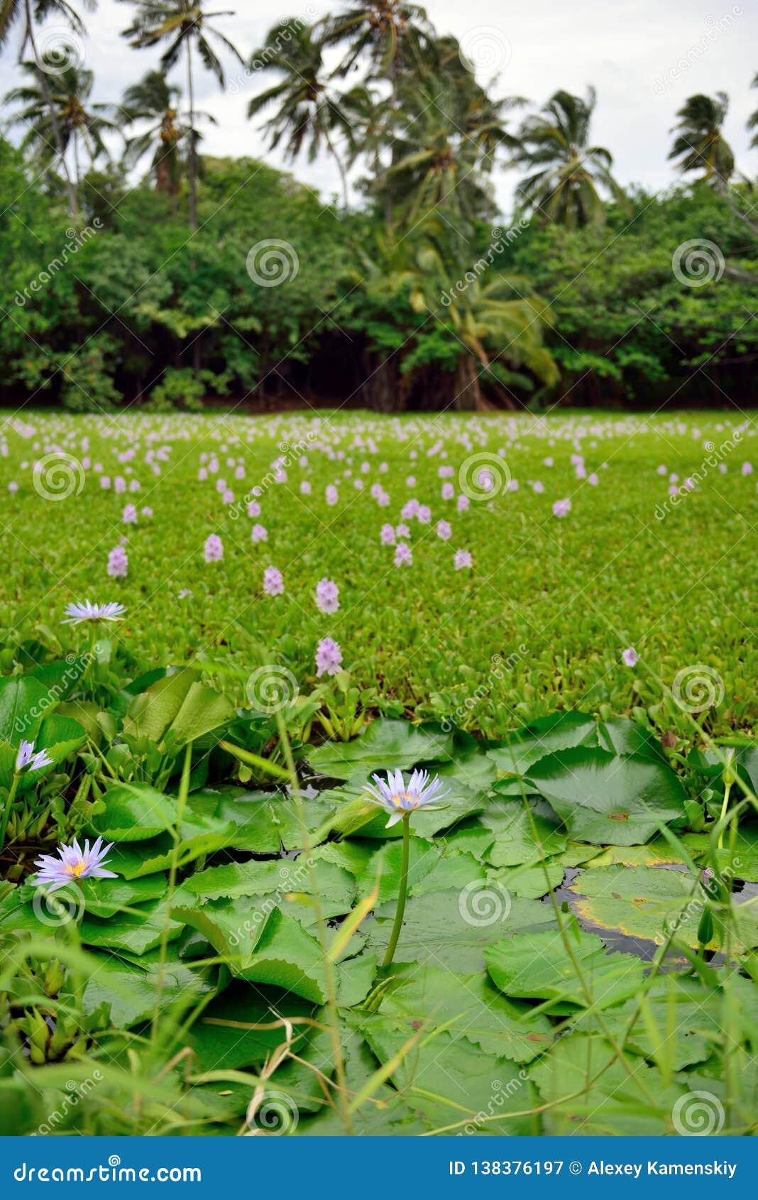 Lilies on the tropical lake in Hawaii Big Island