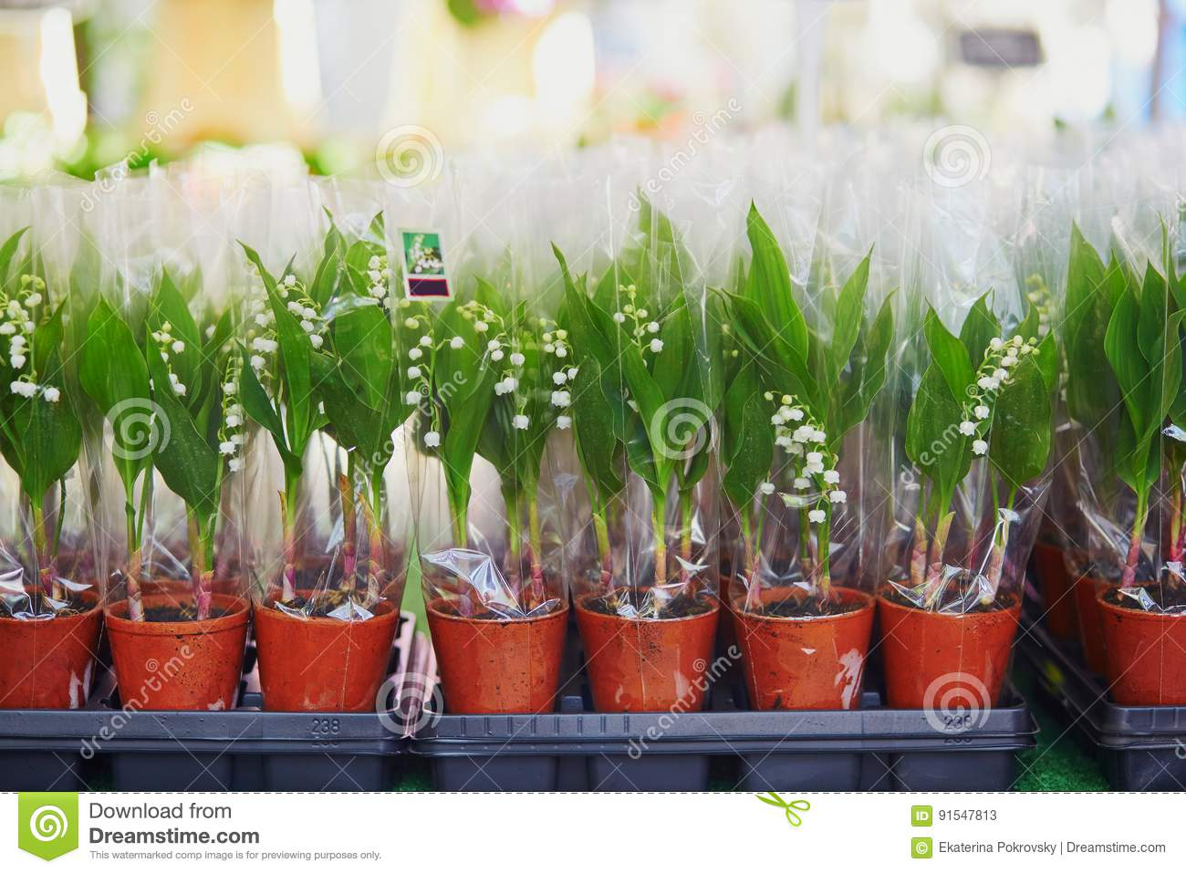 Lilies Of The Valley On French Flower Market In Paris Stock Image