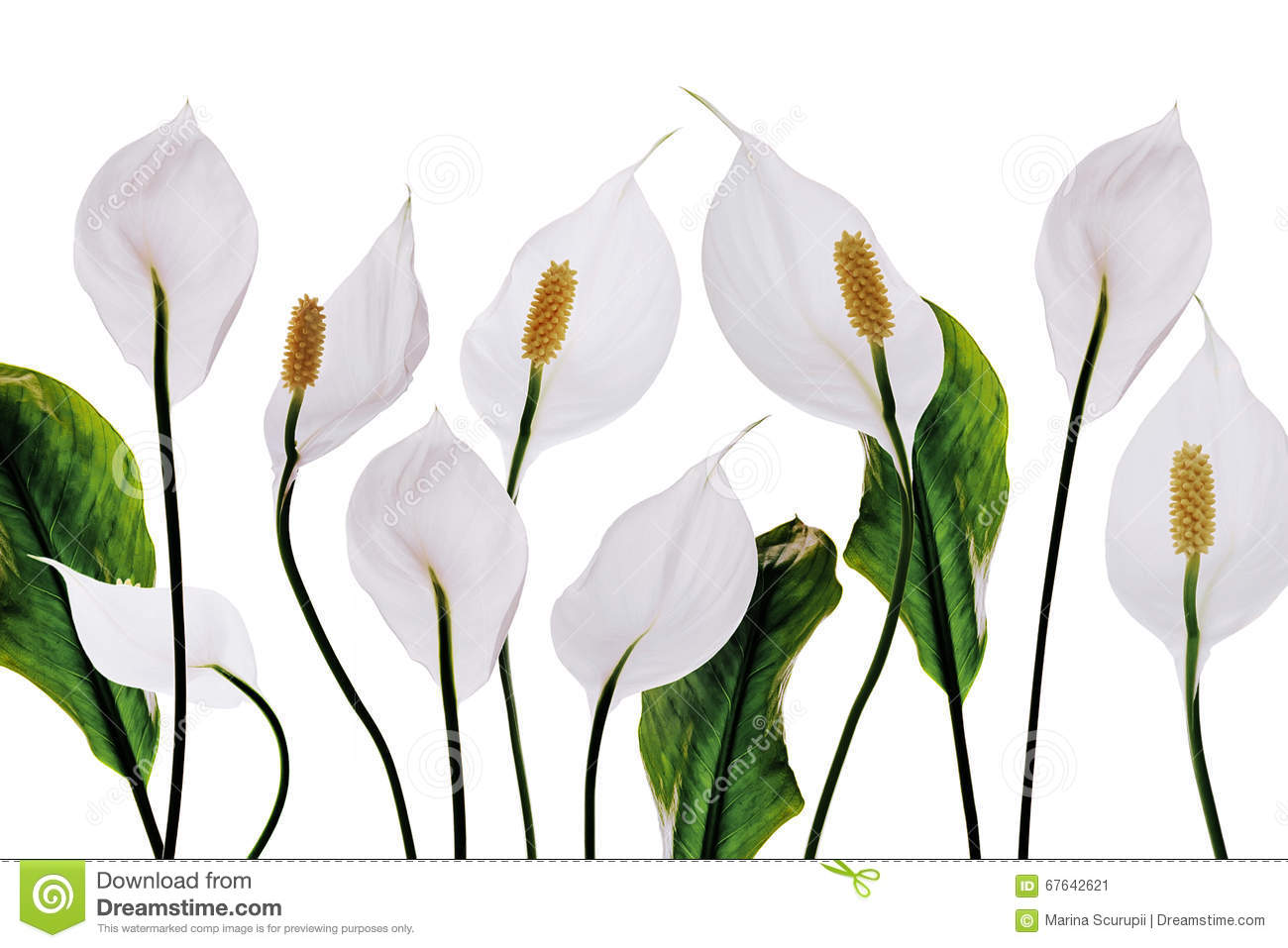 Lilies white flowers stock image image of flowers seed 67642621 download lilies white flowers stock image image of flowers seed 67642621 izmirmasajfo