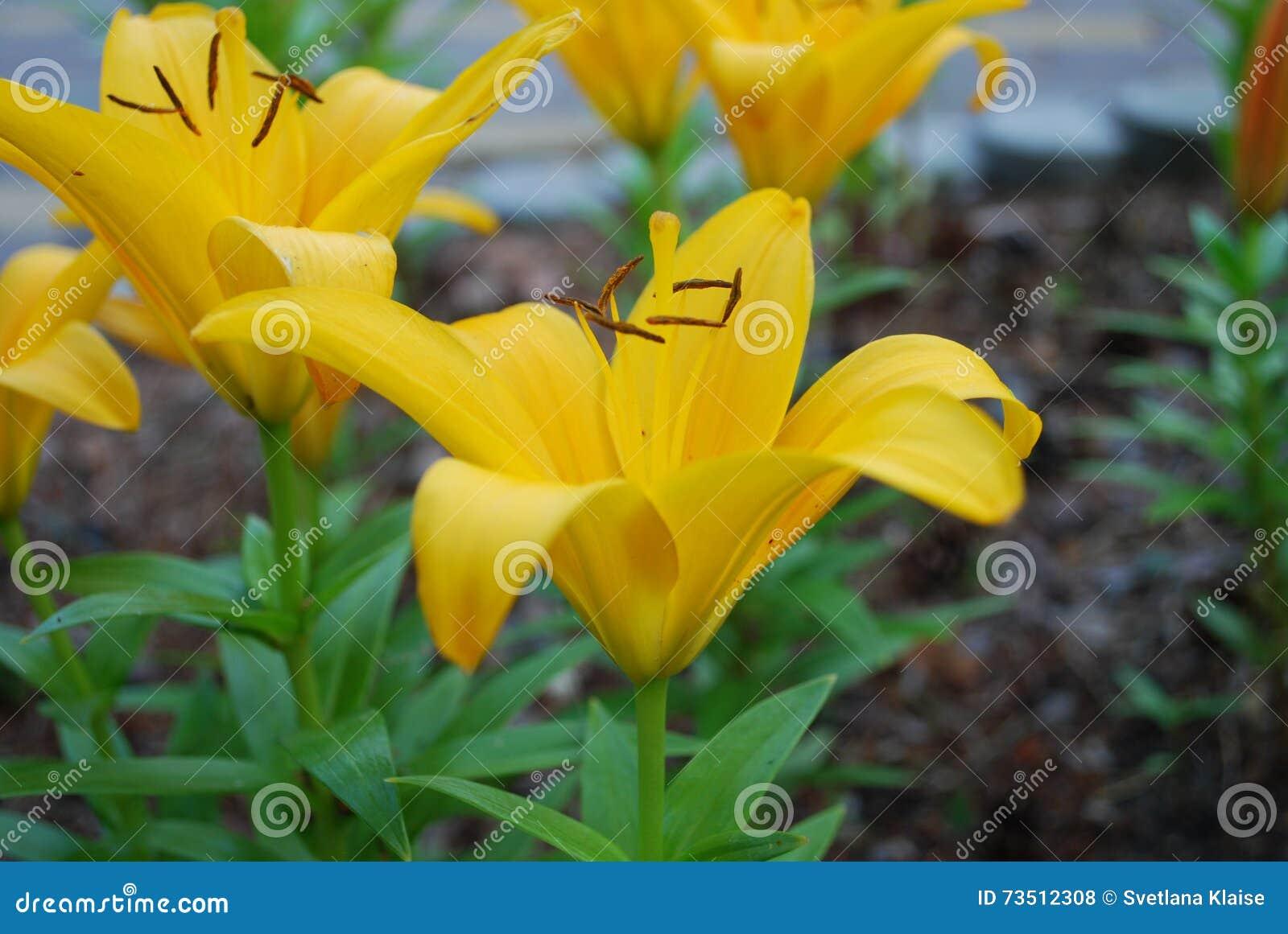 Lilium Asiatic Yellow Flower Stock Photo Image Of Background