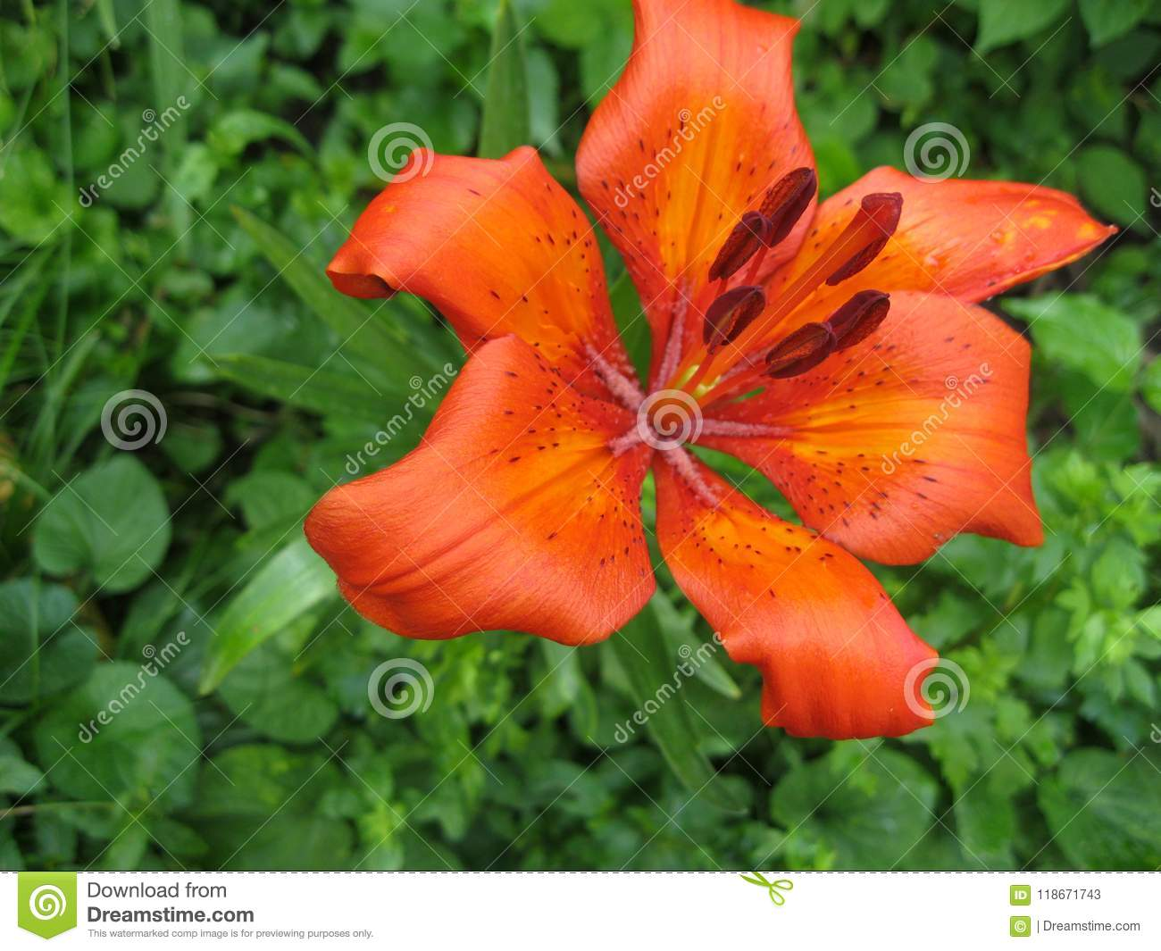 Lilium bulbiferum orange lily fire lily and tiger lily stock download lilium bulbiferum orange lily fire lily and tiger lily stock image image izmirmasajfo