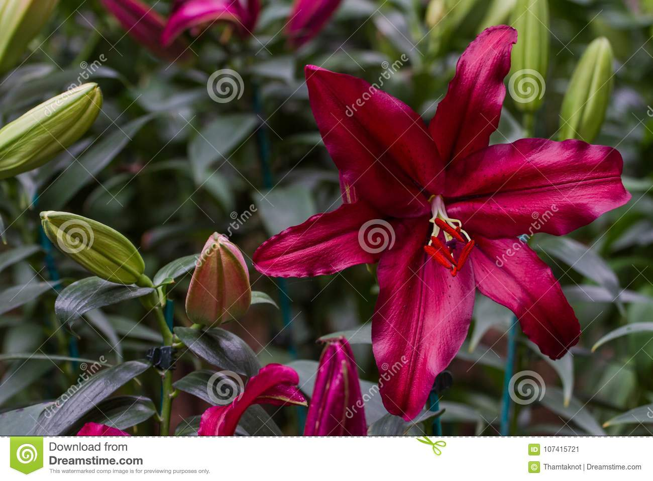 Lilium Spp Is Currently Commonly Grown Types Trumpet Lilies Stock