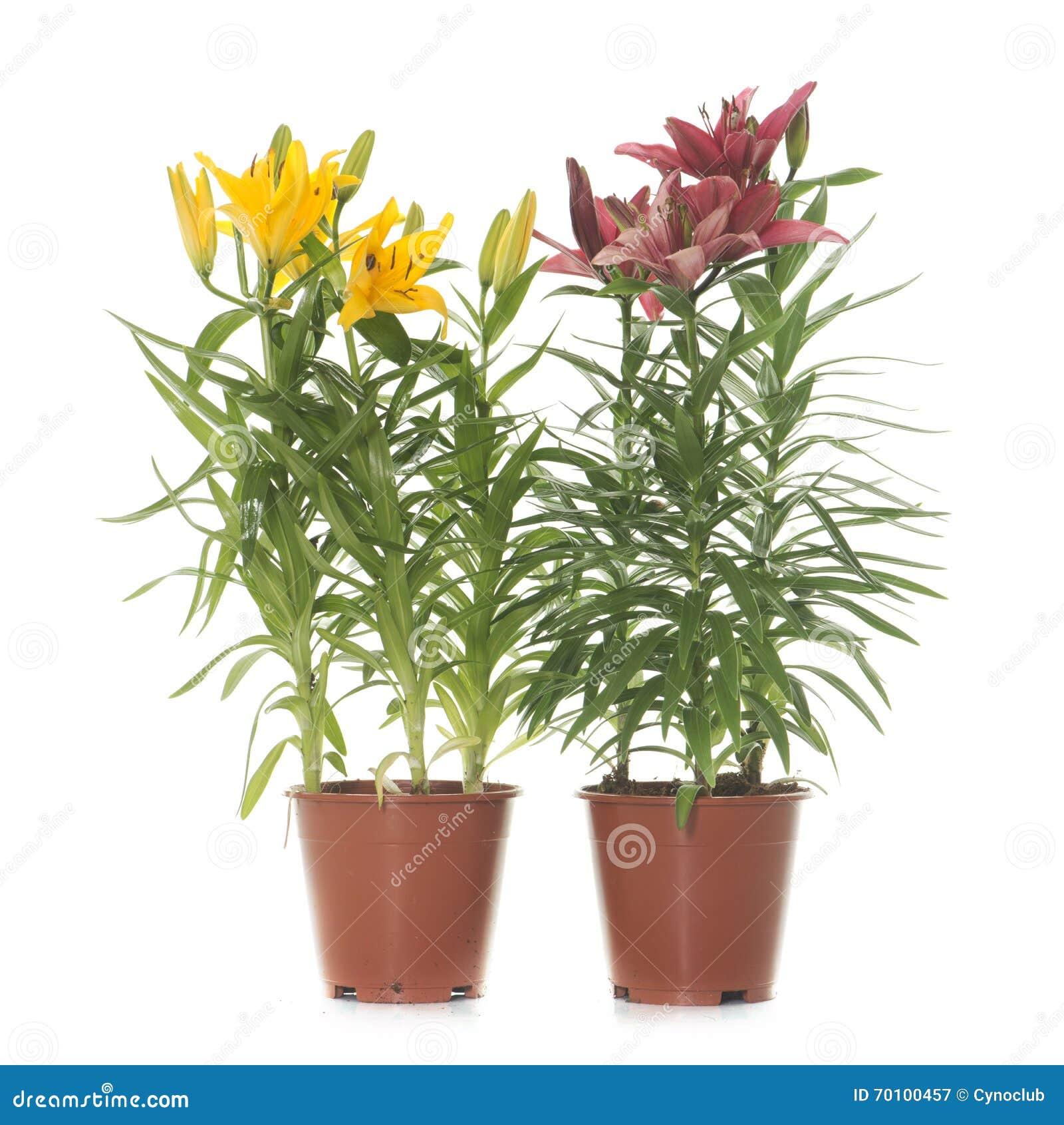 lilium in vaso fotografia stock immagine 70100457