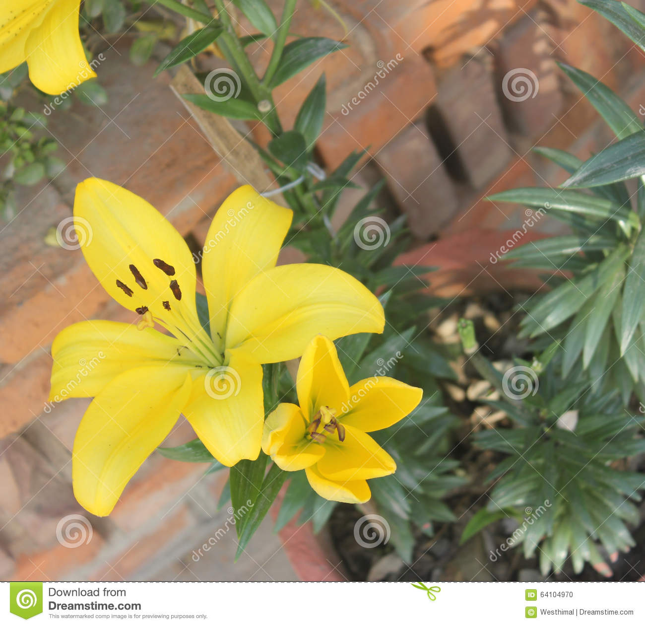 Lilium yellow lily stock photo image of plant popular 64104970 lilium yellow lily tall bulbous perennial with linear green leaves and large yellow flowers in terminal part popular garden plant mightylinksfo