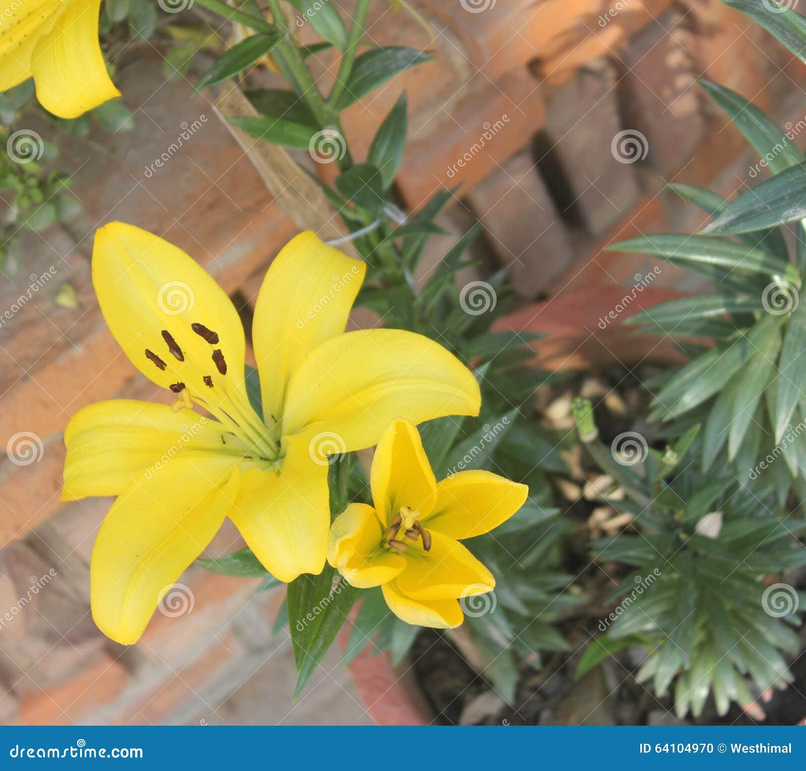 Lilium Yellow Lily Stock Photo Image Of Plant Popular 64104970