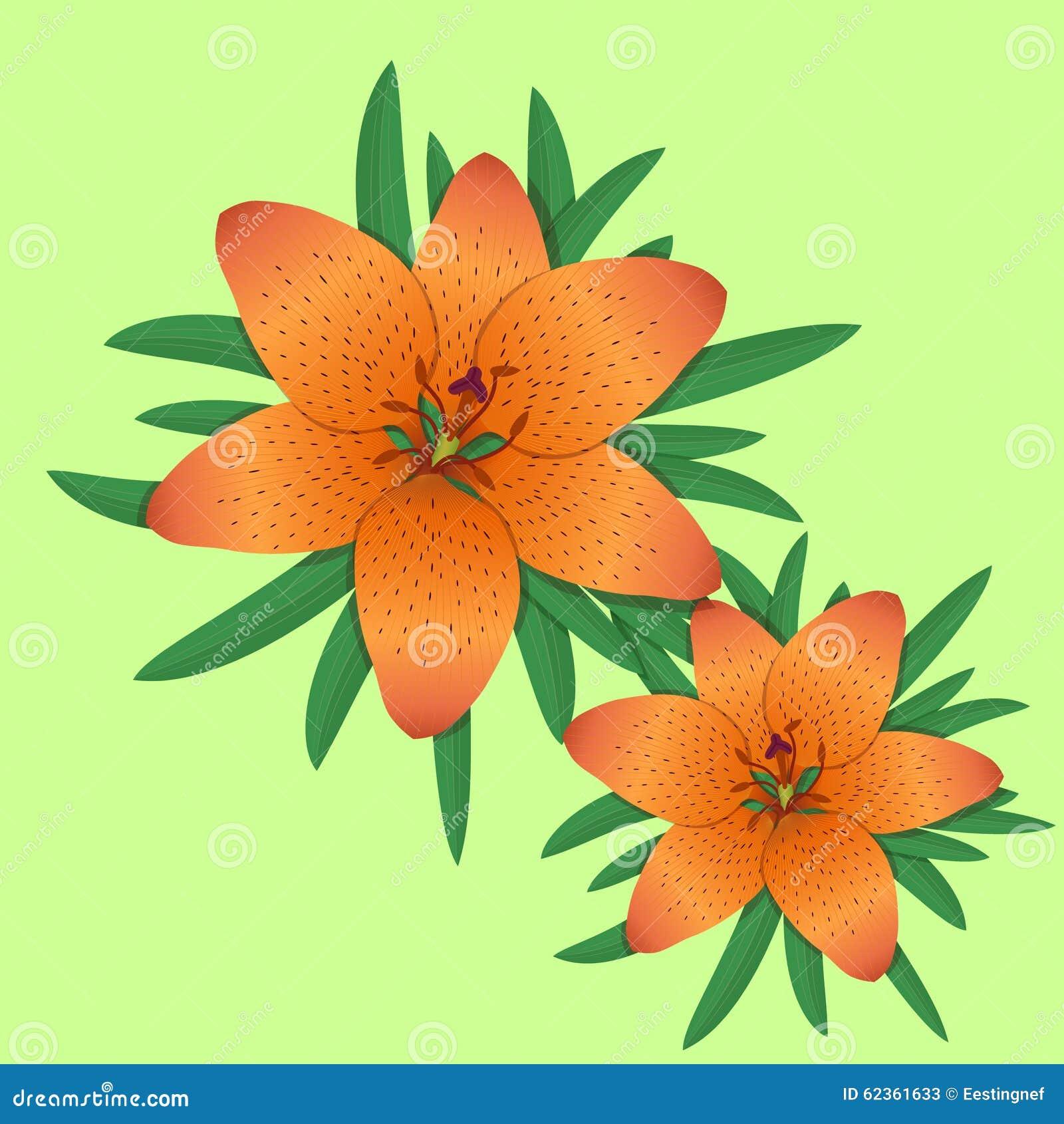 lilja orange blomma