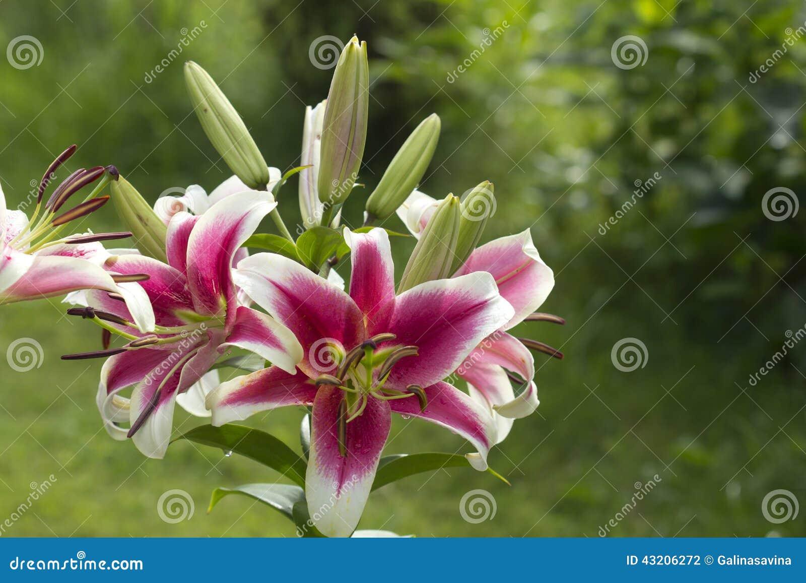 Download Lilja - prinsessaflora arkivfoto. Bild av blomma, design - 43206272