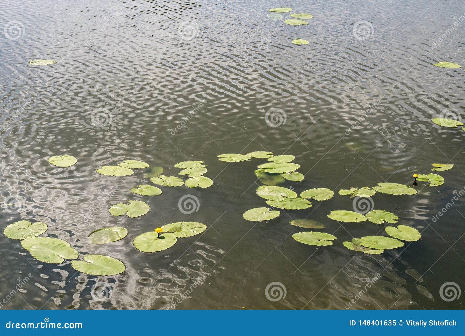Liljablomma i vattnet