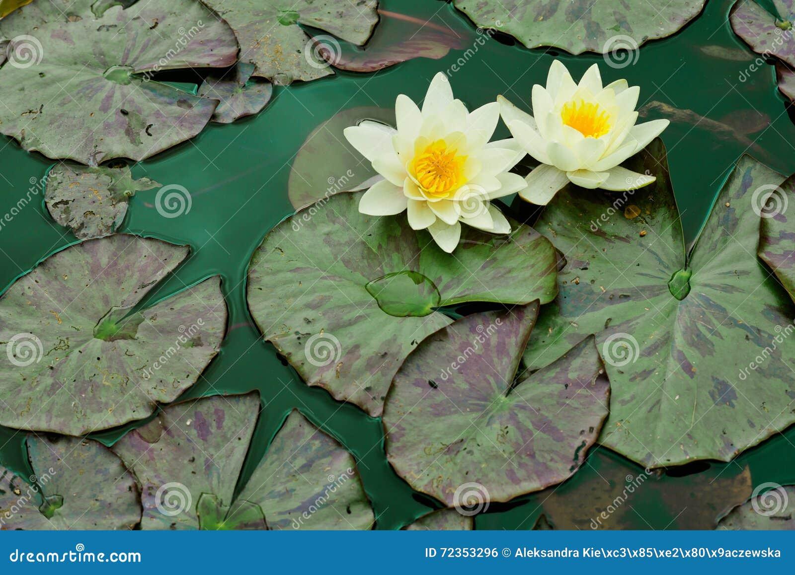 Liljar water yellow