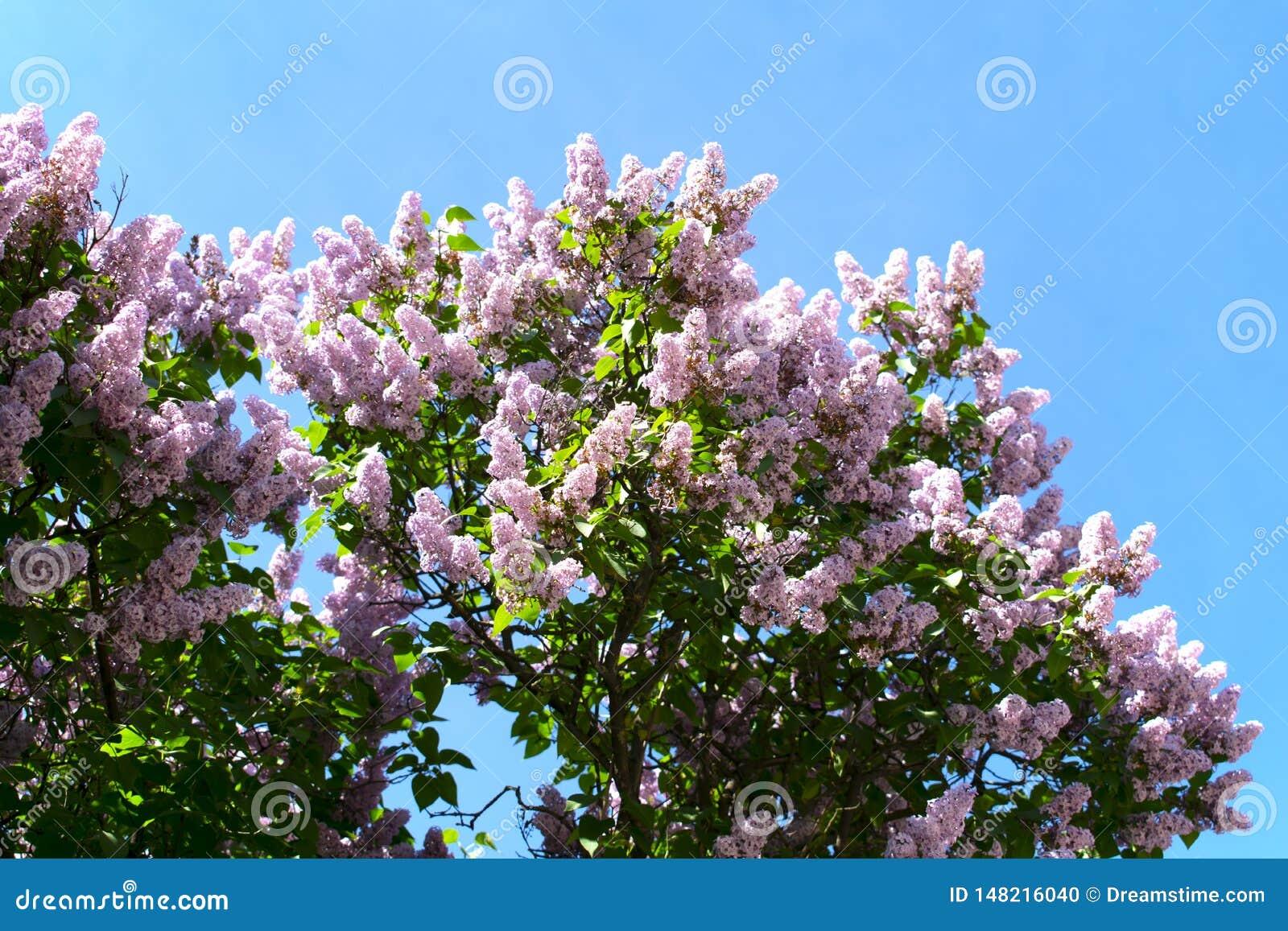 Lillà di fioritura contro il cielo blu
