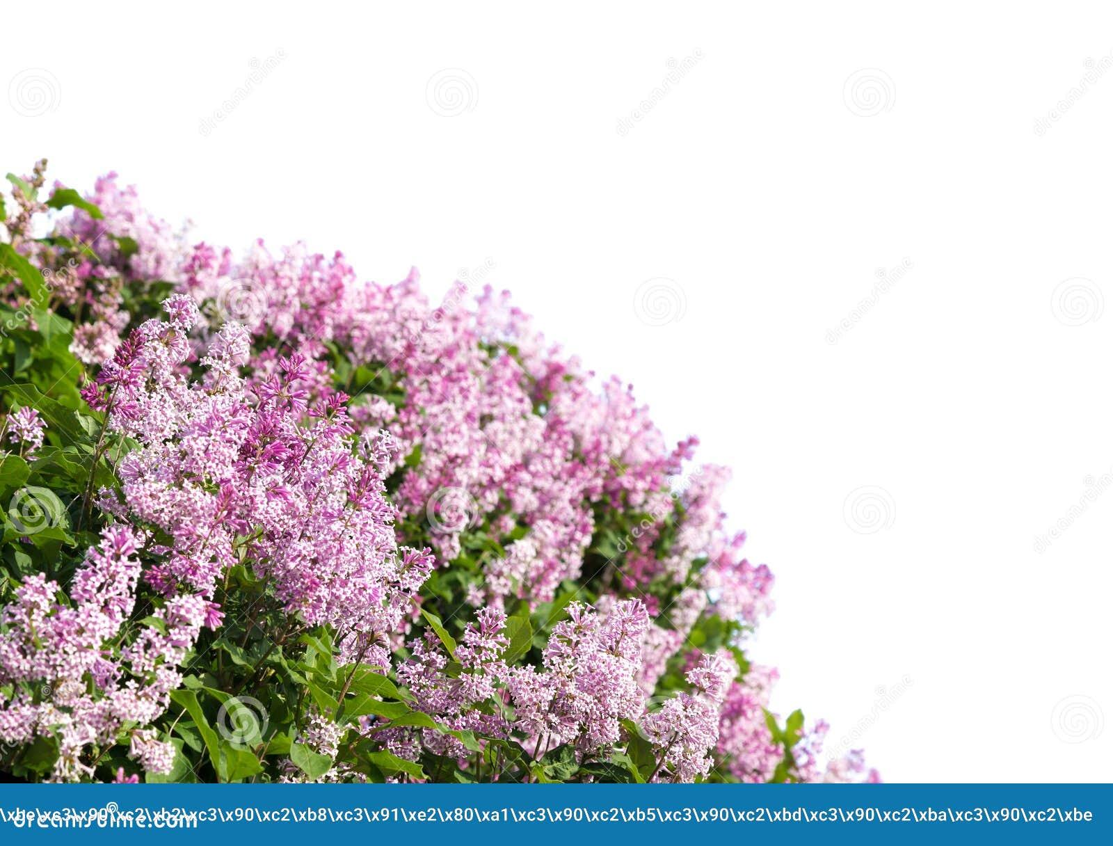Lillà di fioritura della sorgente
