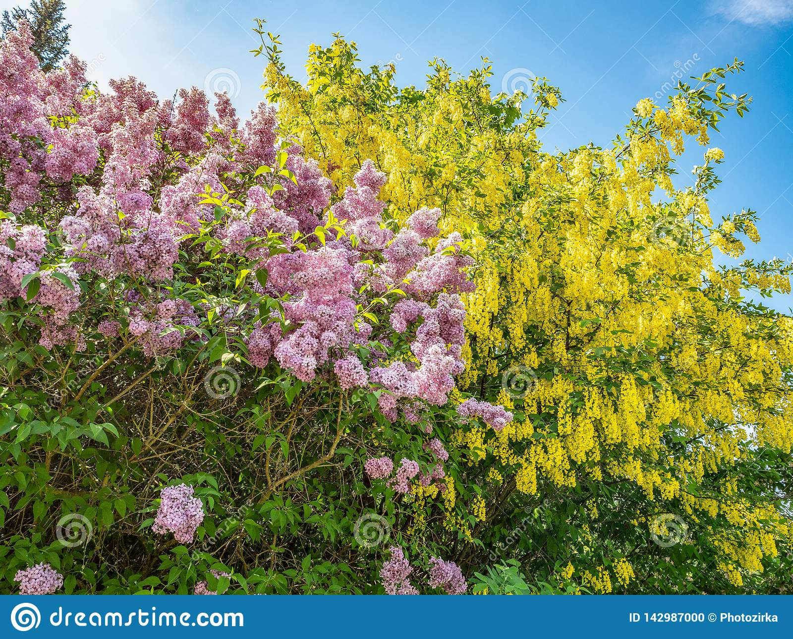 Albero Di Lillà lillà ed albero di fioritura di maggiociondolo contro il