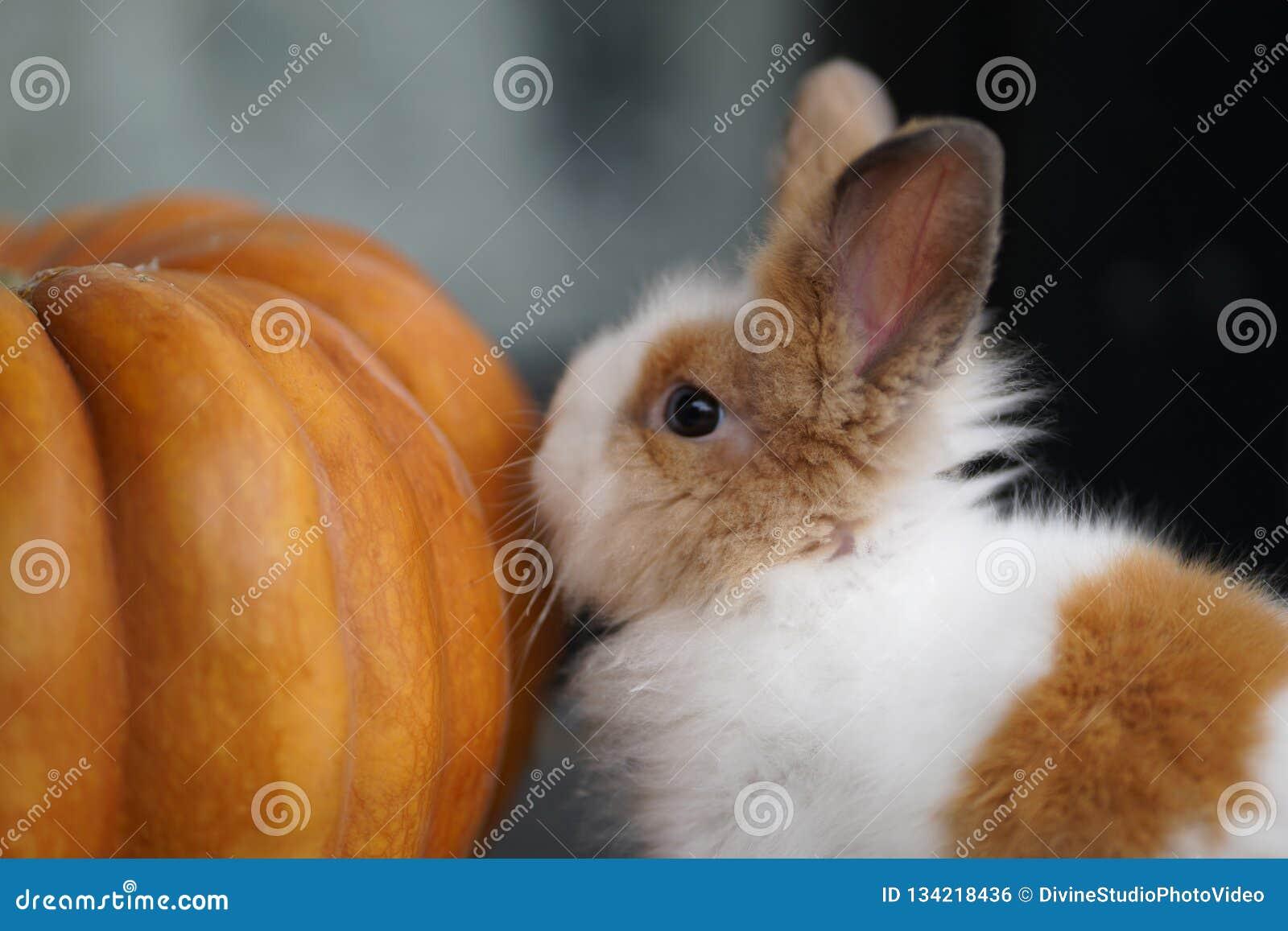 Lilla Bunny And Orange Pumpkin