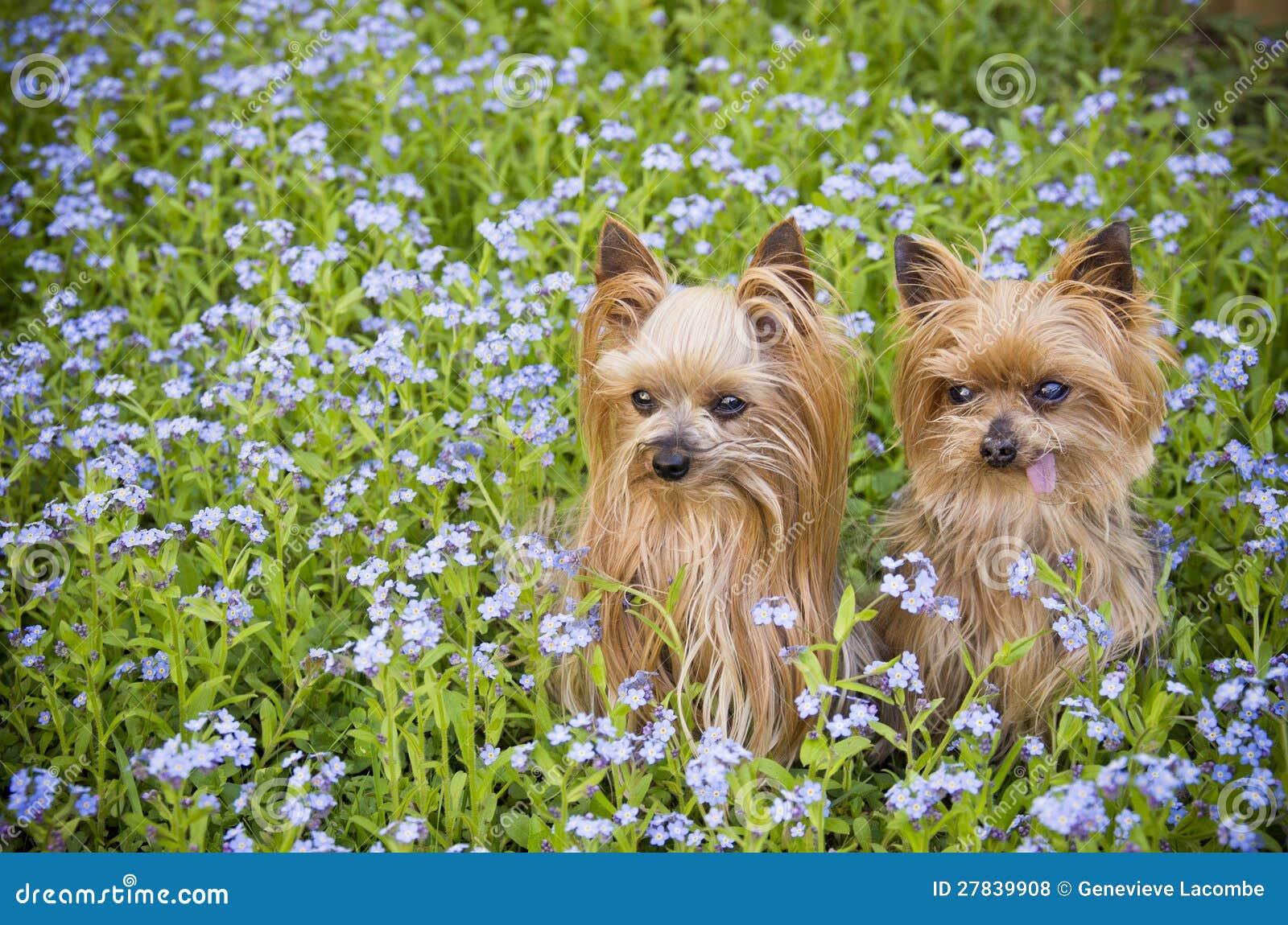 Lilla hundar i blommafält