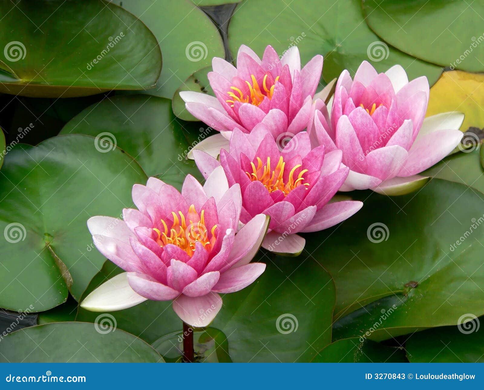 Lillies ρόδινο ύδωρ