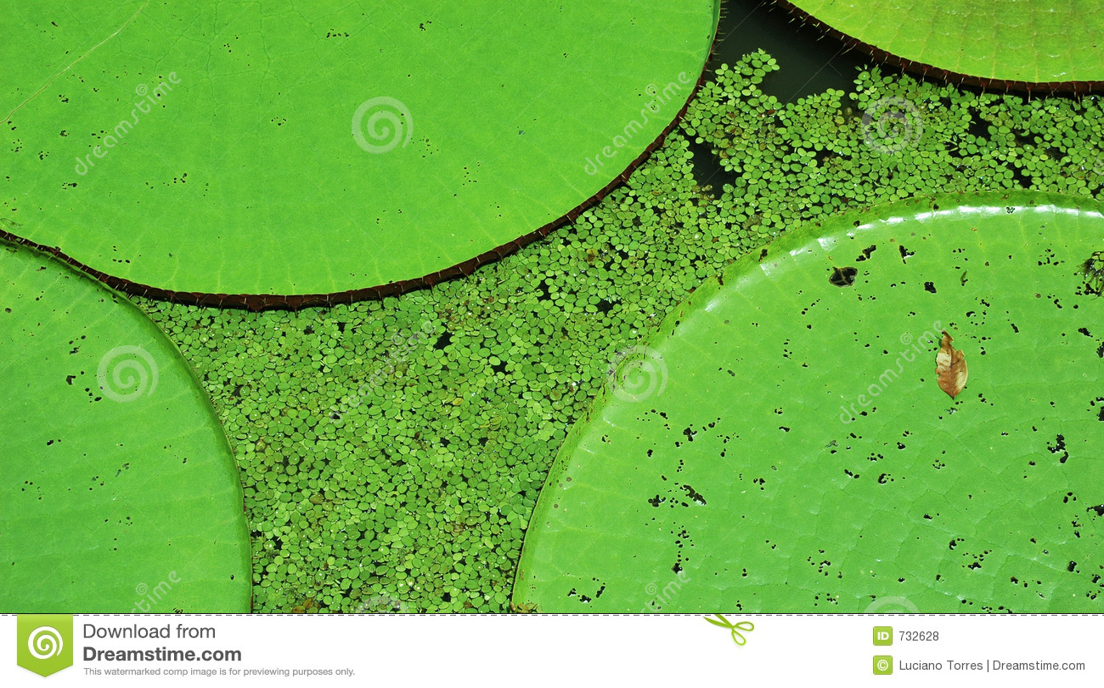 Lillies ύδωρ