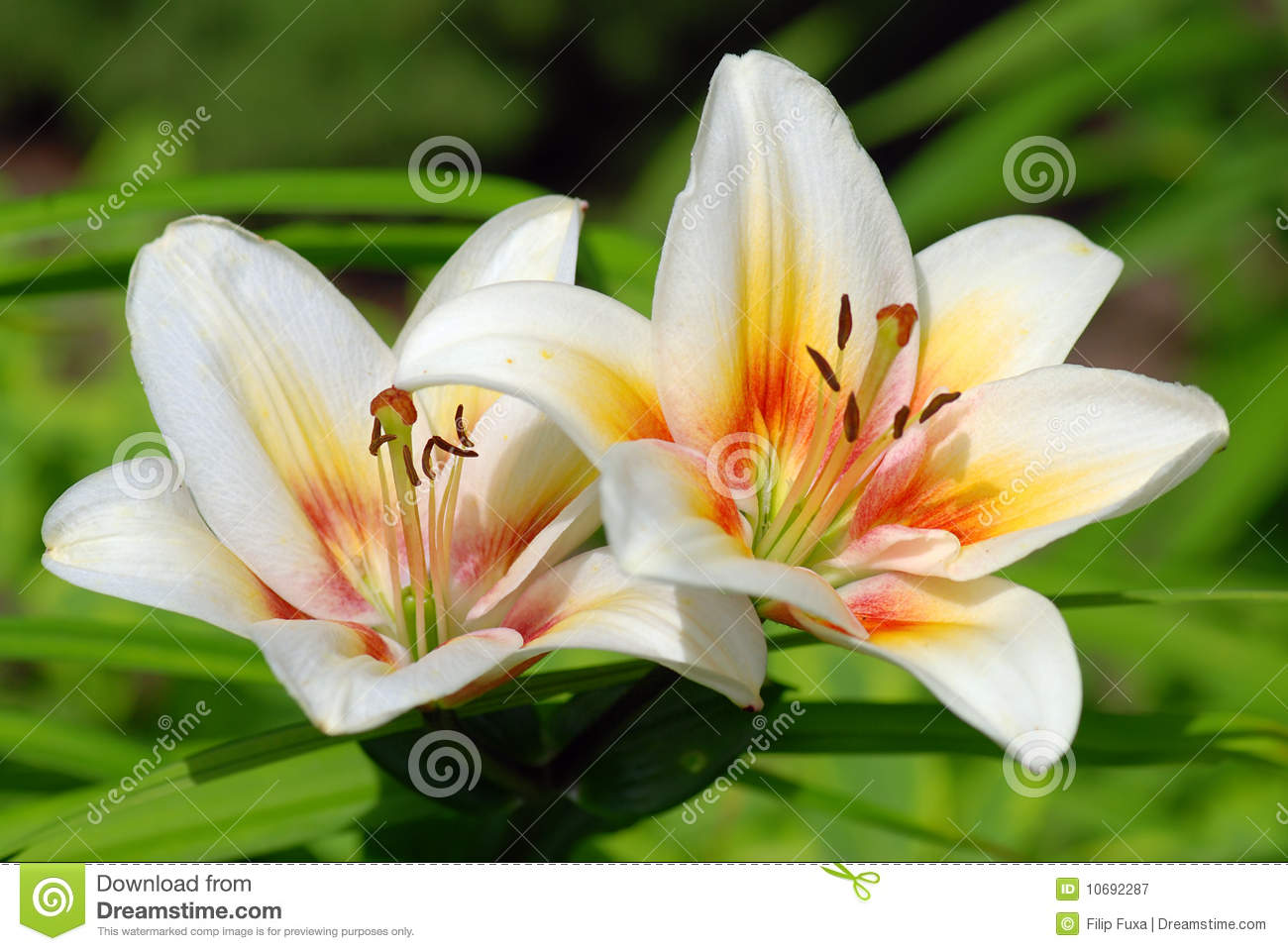 lillies royalty free stock photography  image, Beautiful flower