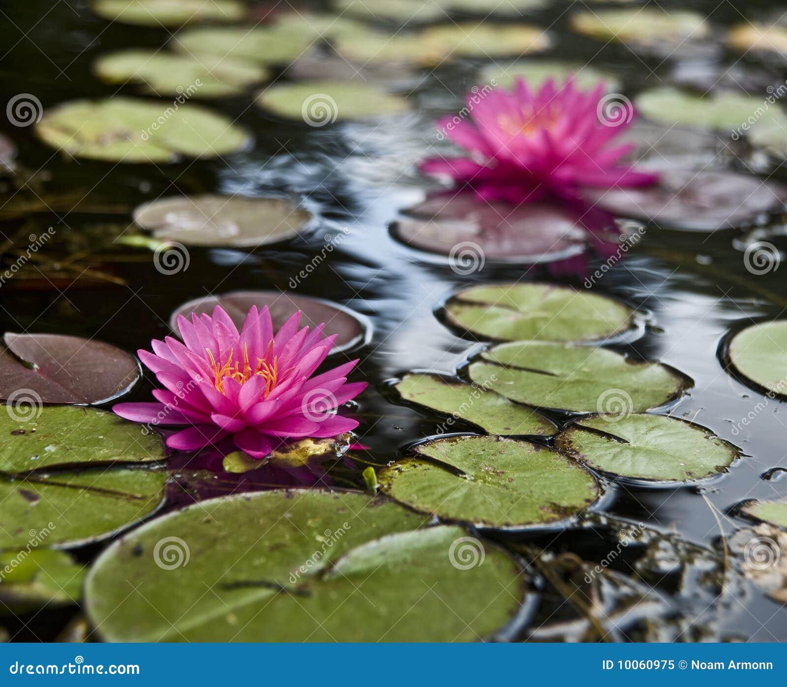 Lillies da água