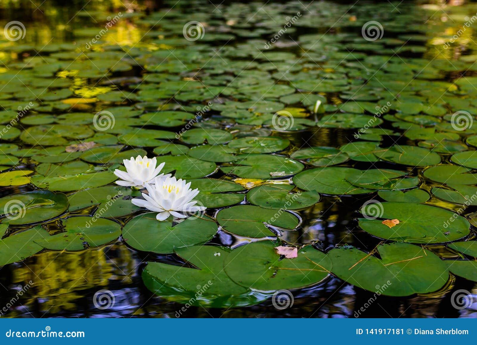 Lillies del agua y cojines de lirio en el río