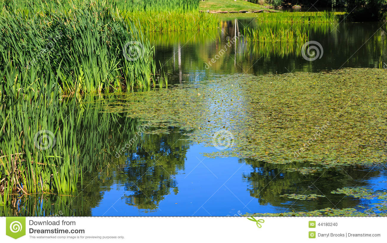 Lillies and grasses in blue water stock photo image for Green pond water
