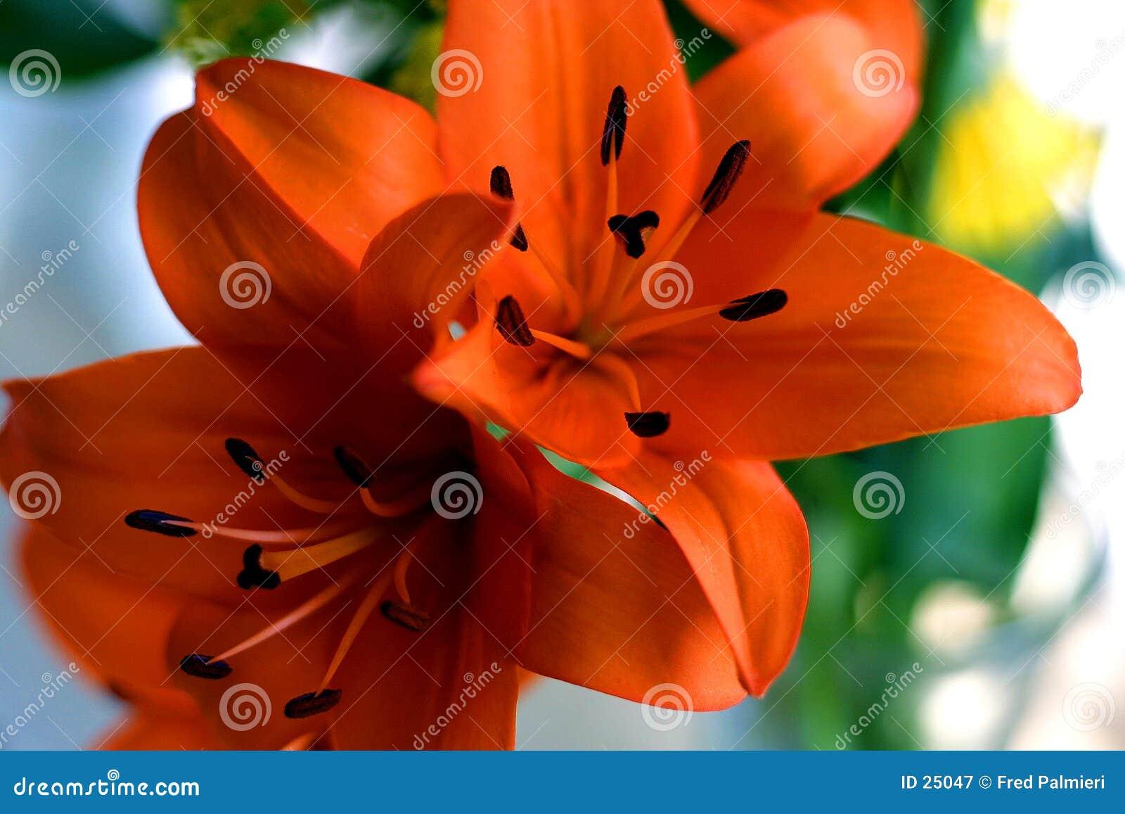 Lillies pomarańczowe