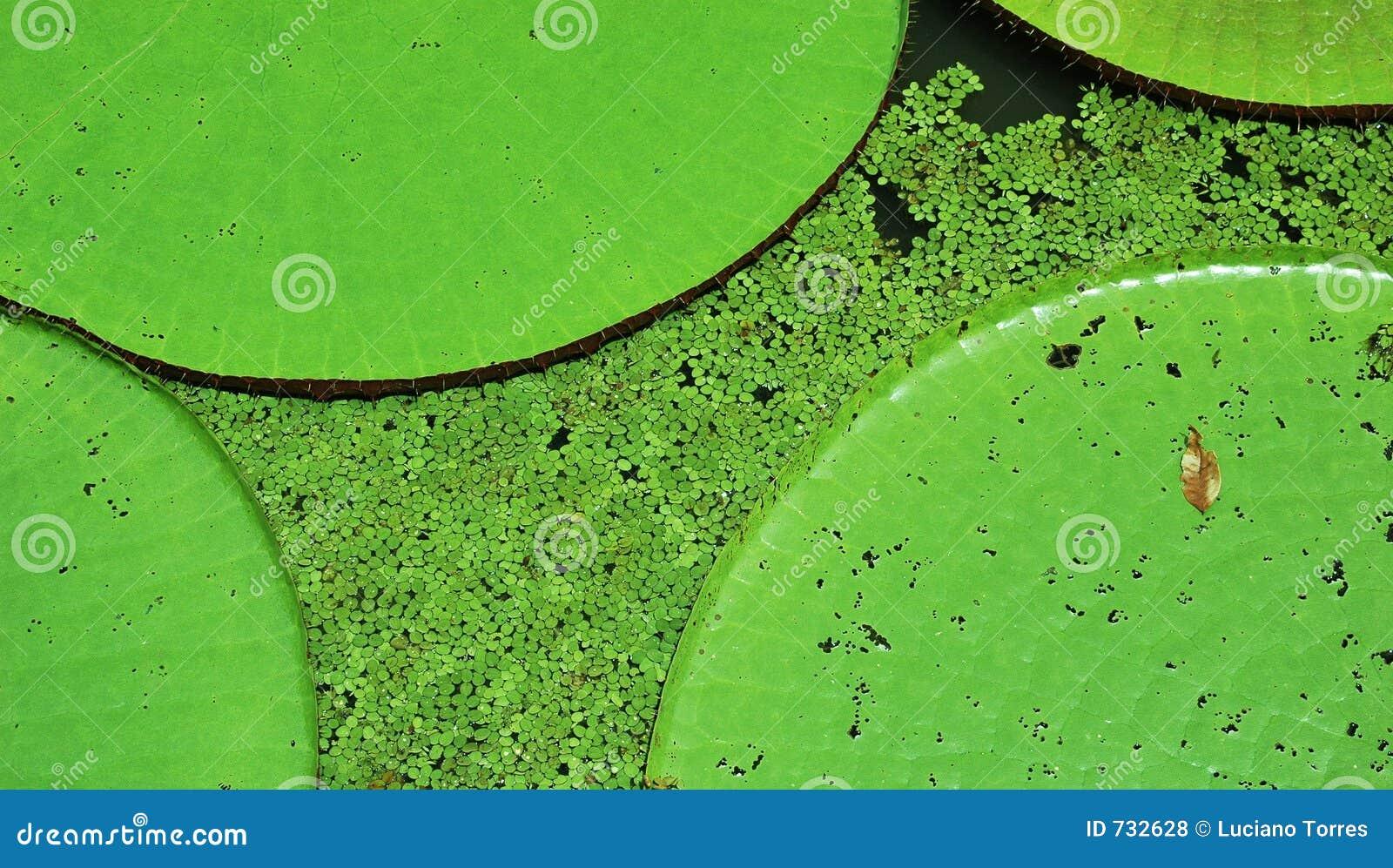 Lillies wody