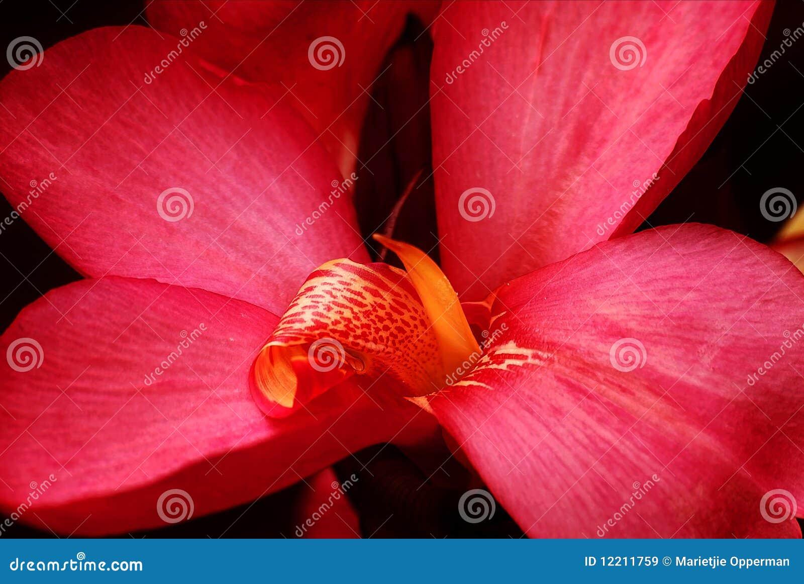 Lilly κόκκινο