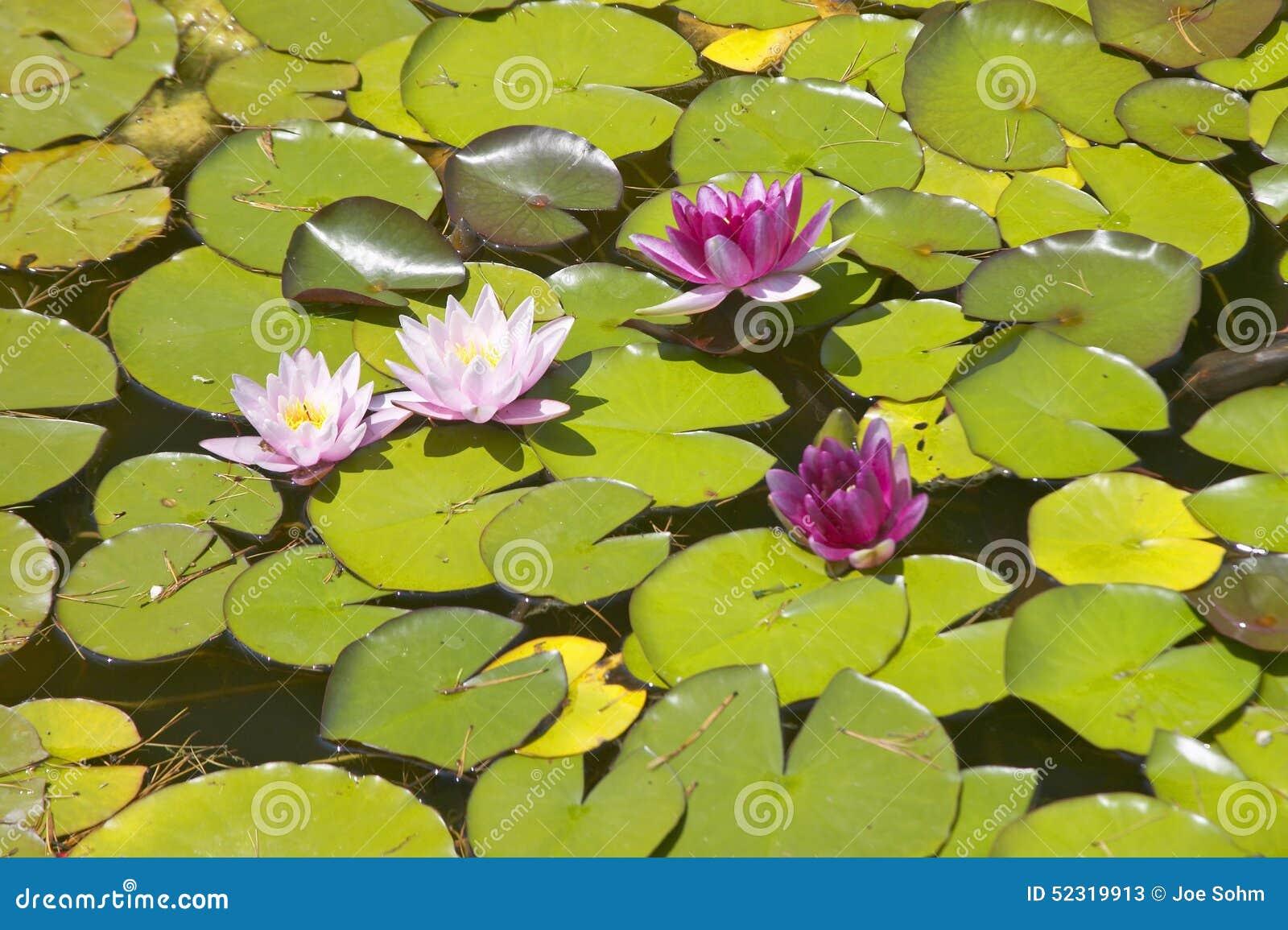 Lilly block och lotusblommablommor på trädgårdarna och Villan Ephrussi de Rothschild, Helgon-Jean-lock-Ferrat, Frankrike