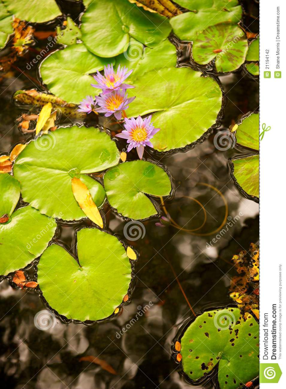 Lilly Pads and Flower in Pond