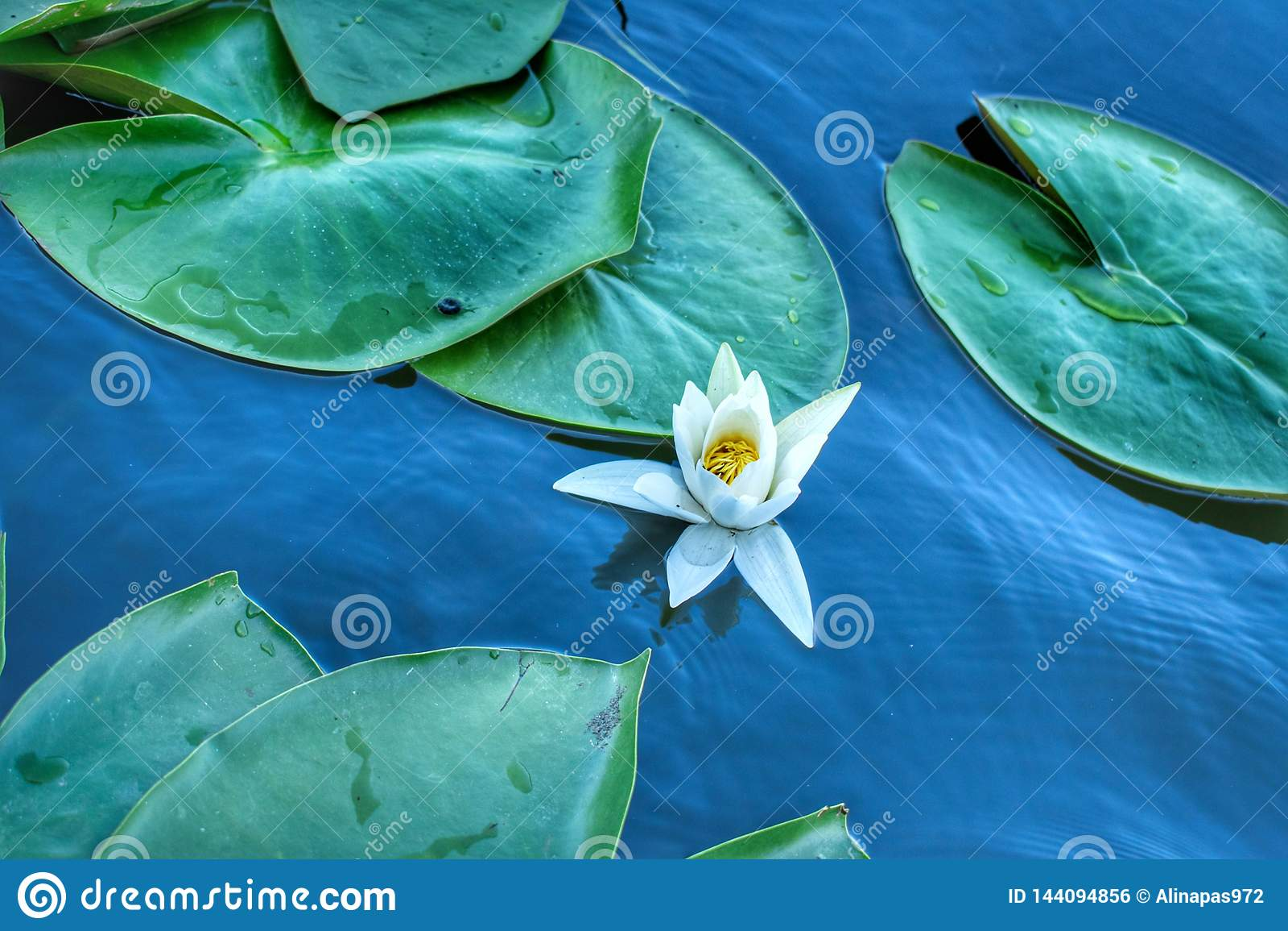 Lilly vatten